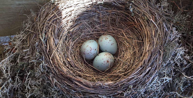 Linnun munat pesän pohjalla - vaan minkä linnun?