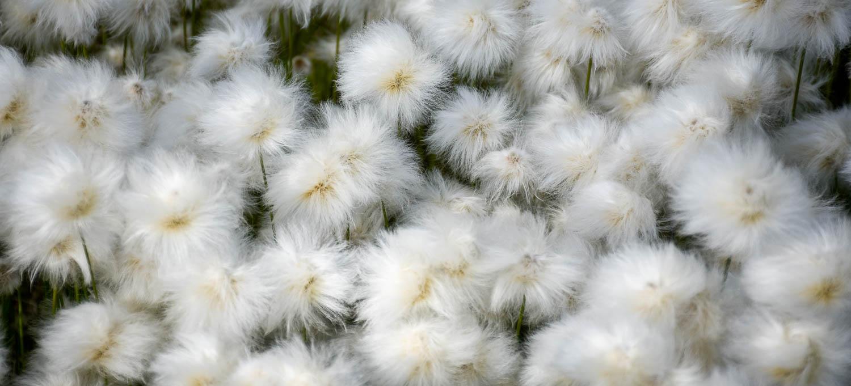Tupasvilla kukkii hehkeimmillään.