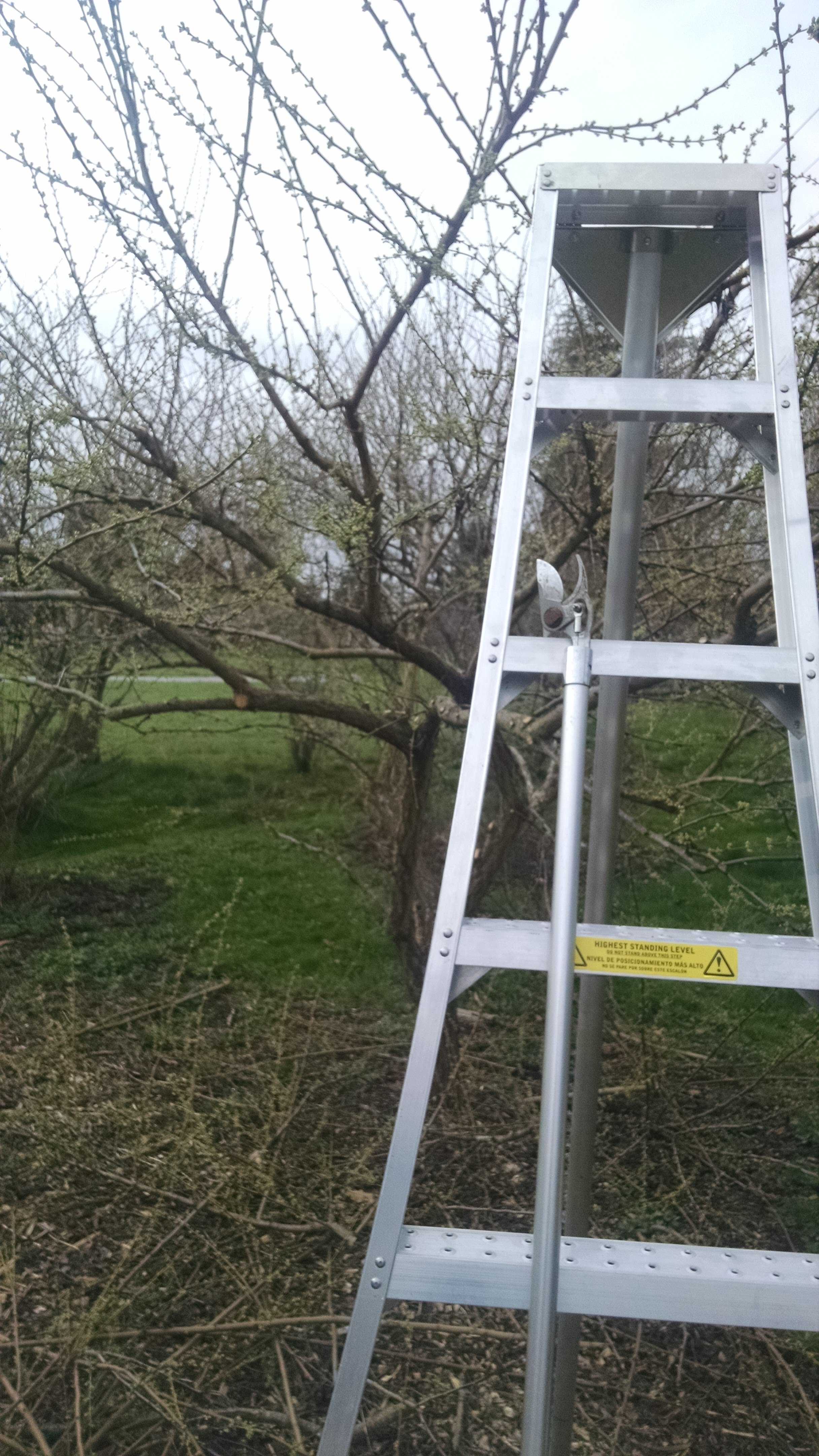 tools of the trade: orchard ladder, extension pruner (plus hand pruners, loppers, and hand saws)