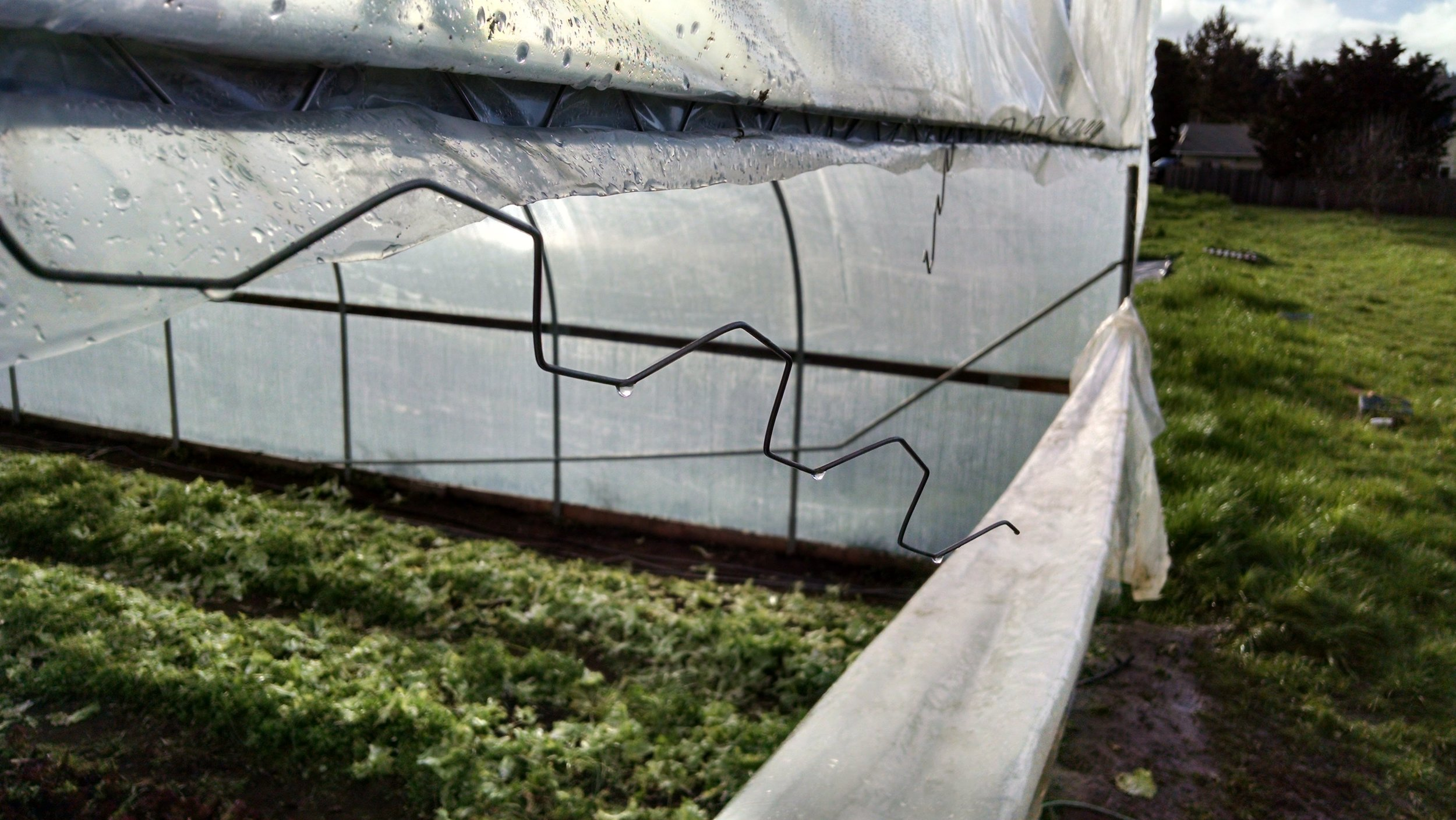 Putting the greenhouse door back in place after escarole harvest
