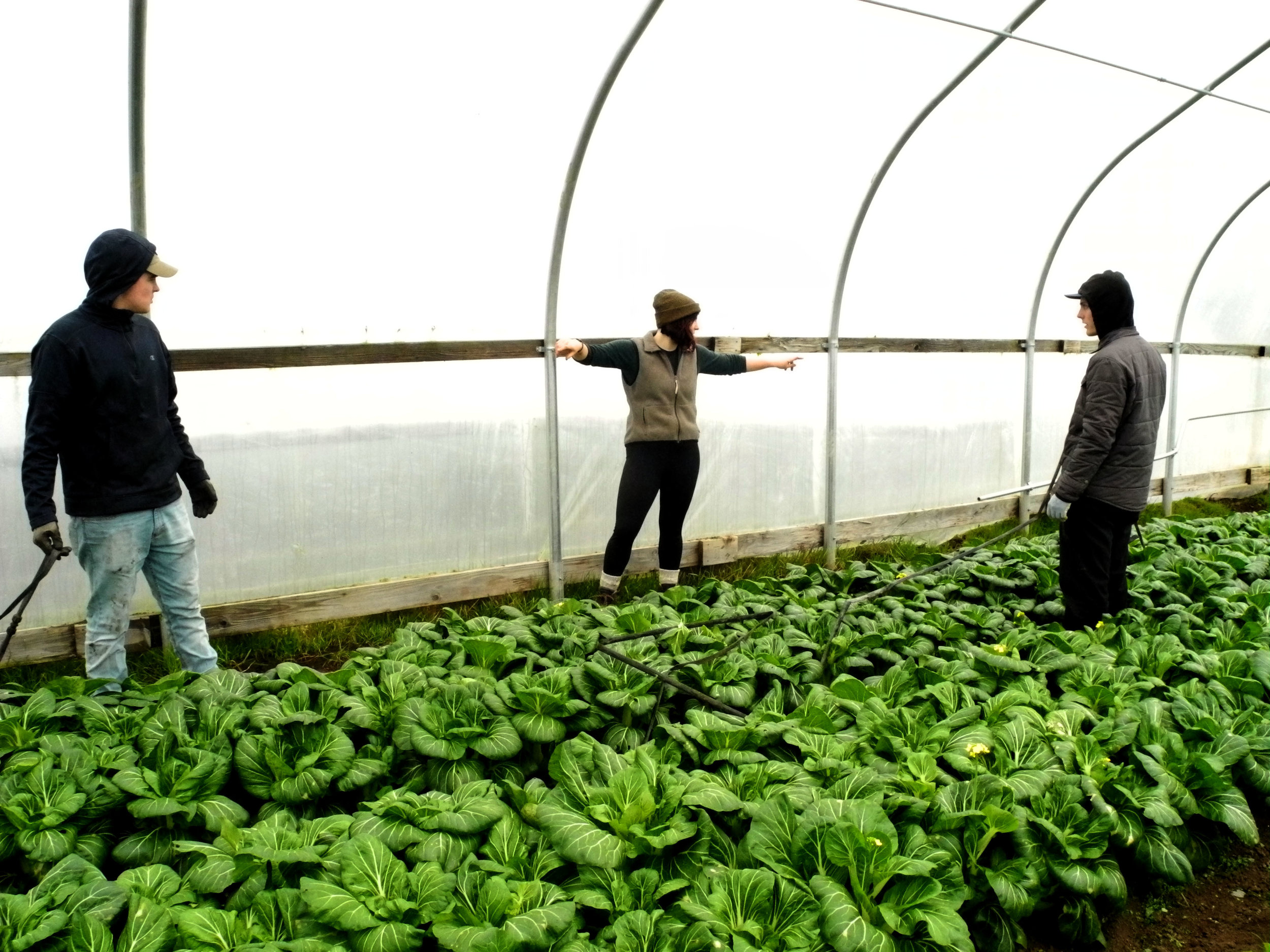 Hannah leading bok choy harvest.  (Photo by Isaac Mitzel)