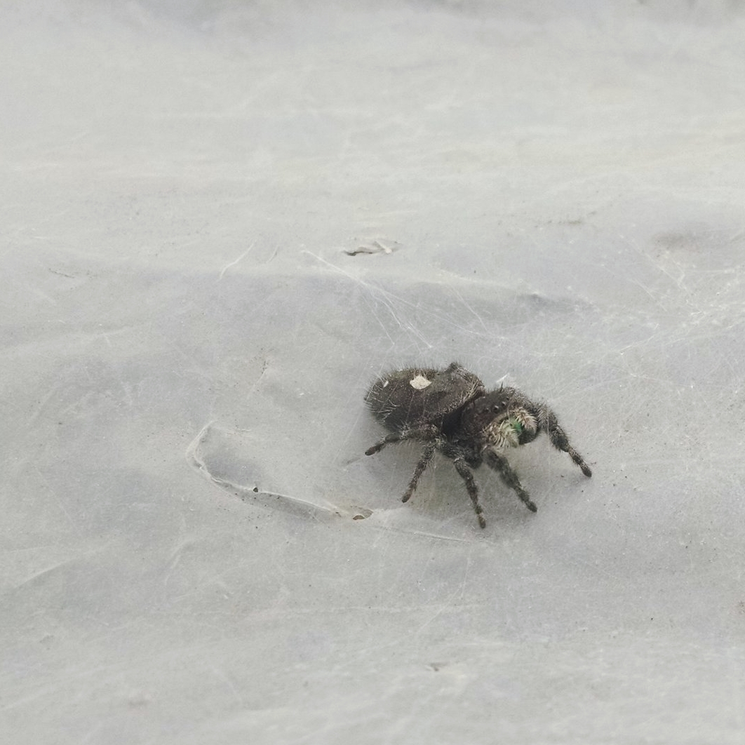 White-spotted jumping spider in the nursery