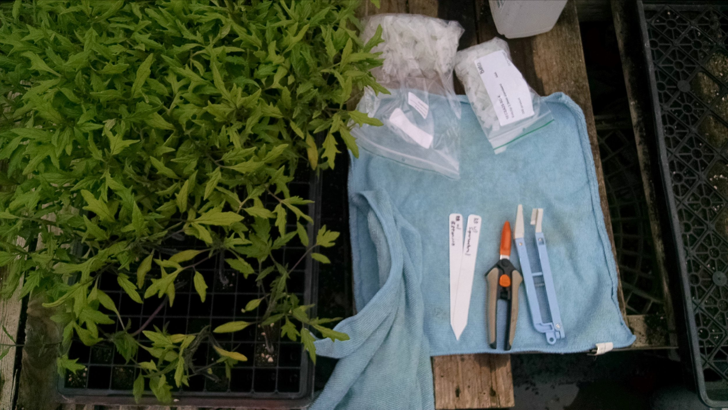 Ready to being: scions, knives, clips, labels, and the most sterile surface we can get