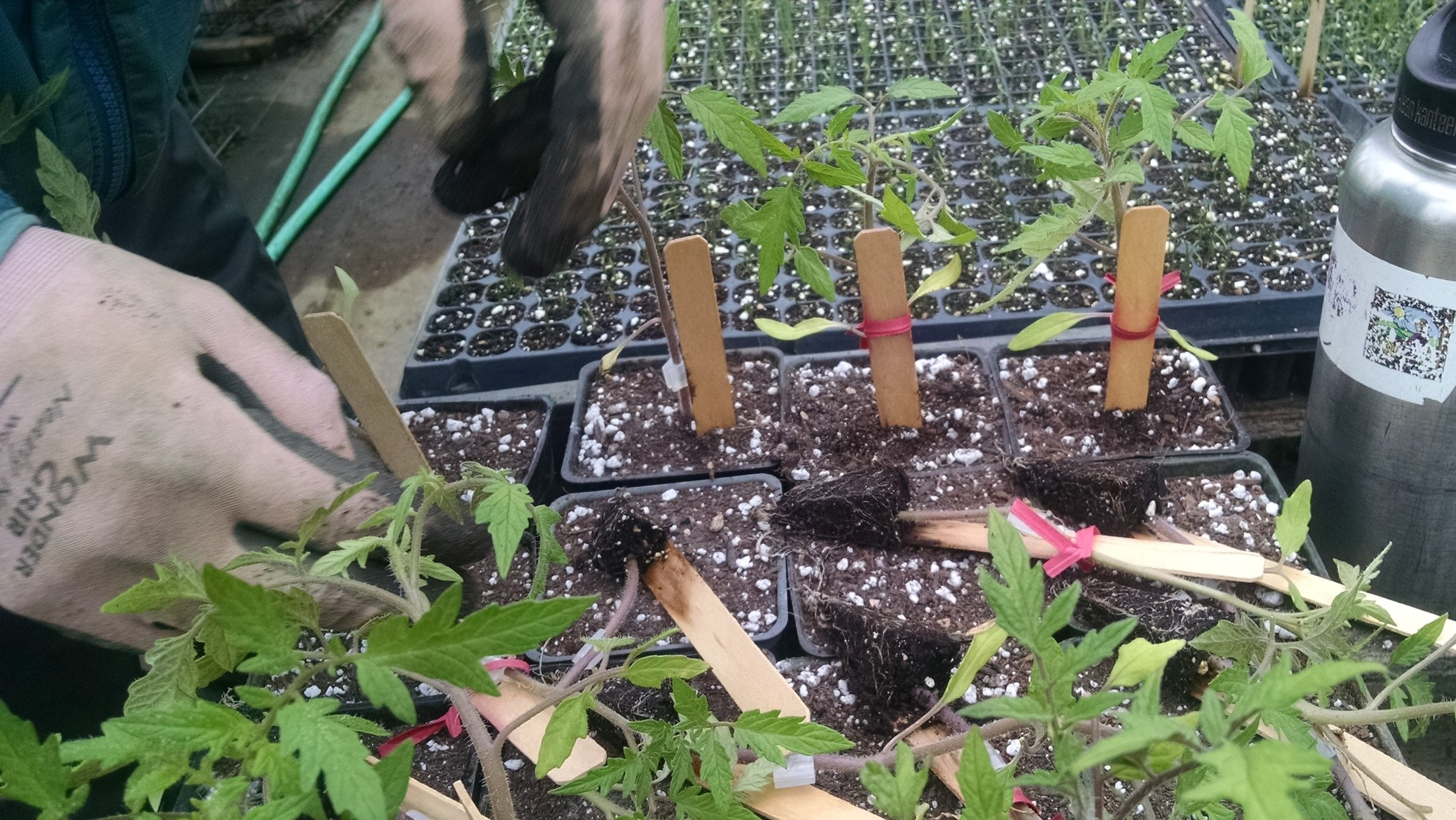 David potting up grafted tomatoes.