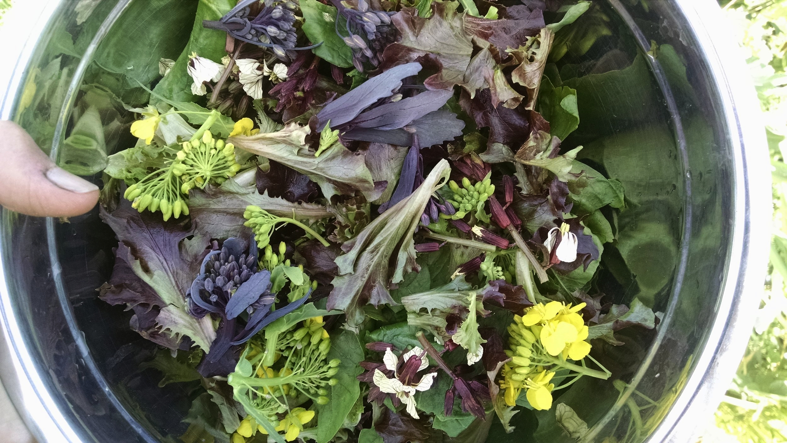 Freshly harvested salad for lunch: lettuce, spinach, arugula buds, tat tsoi flowers, red cabbage raab