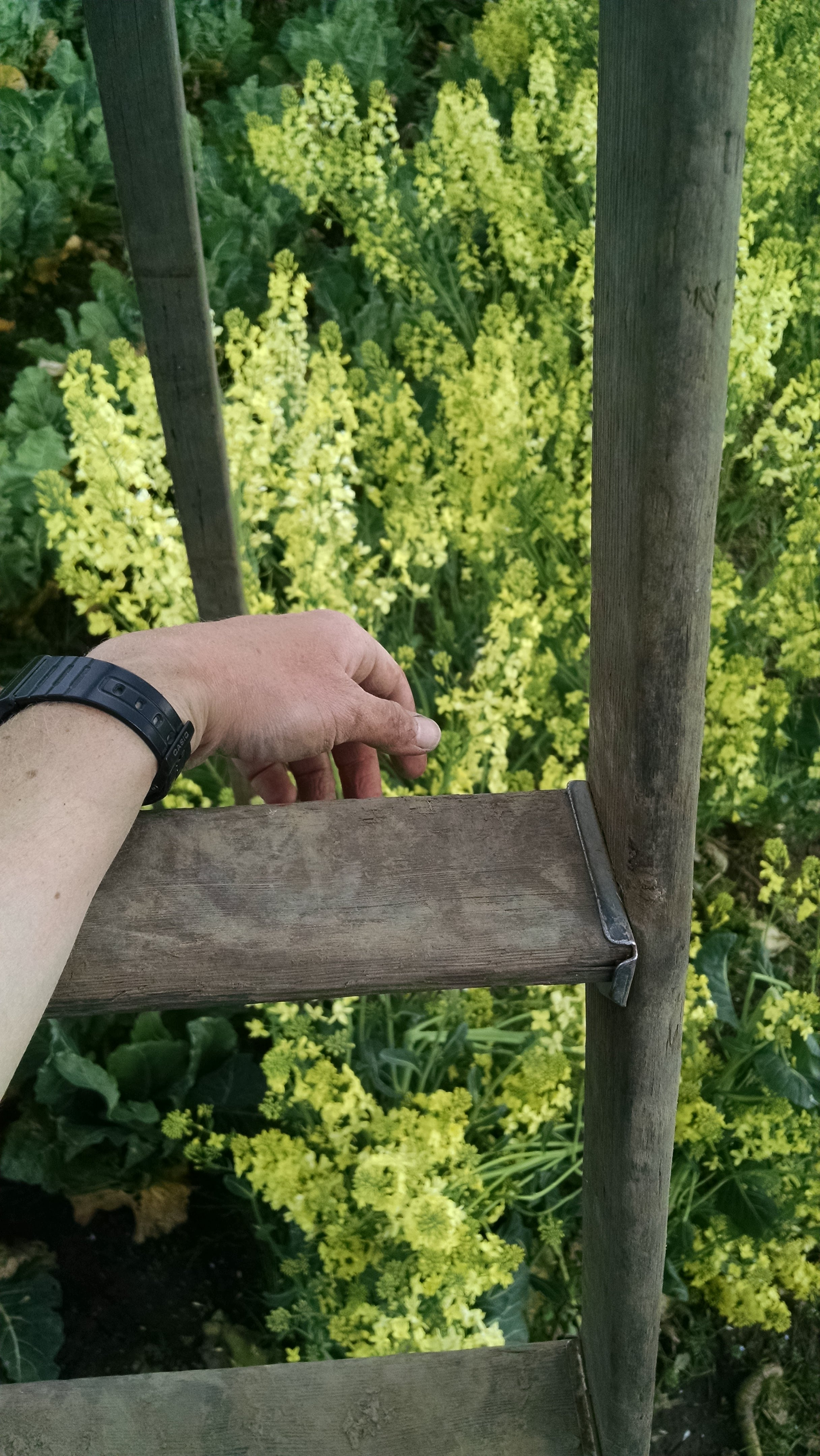 Biennial: Securing the old ladder behind the high tunnels in a flush of collard flowers
