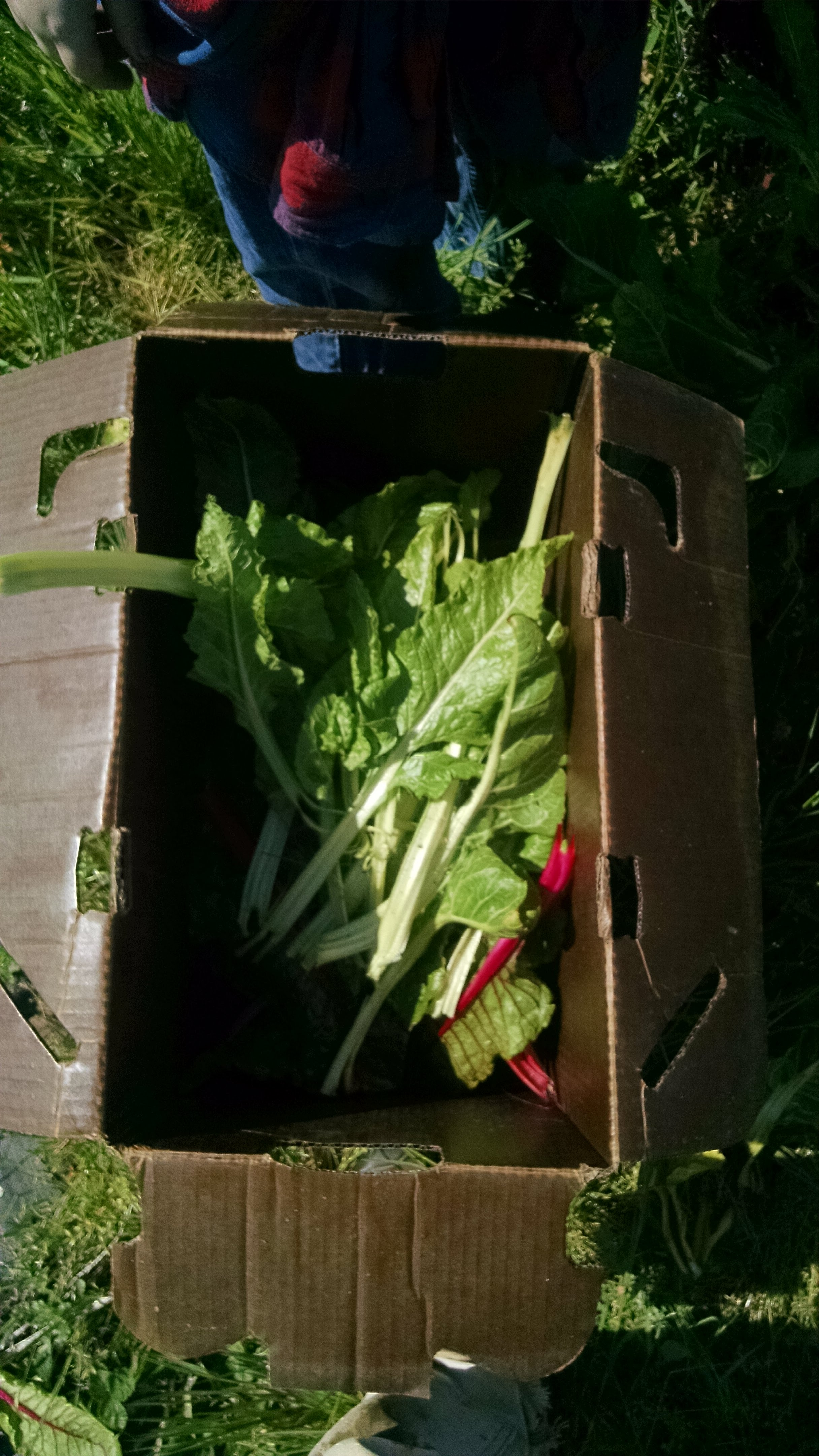 Harvesting chard with local third graders
