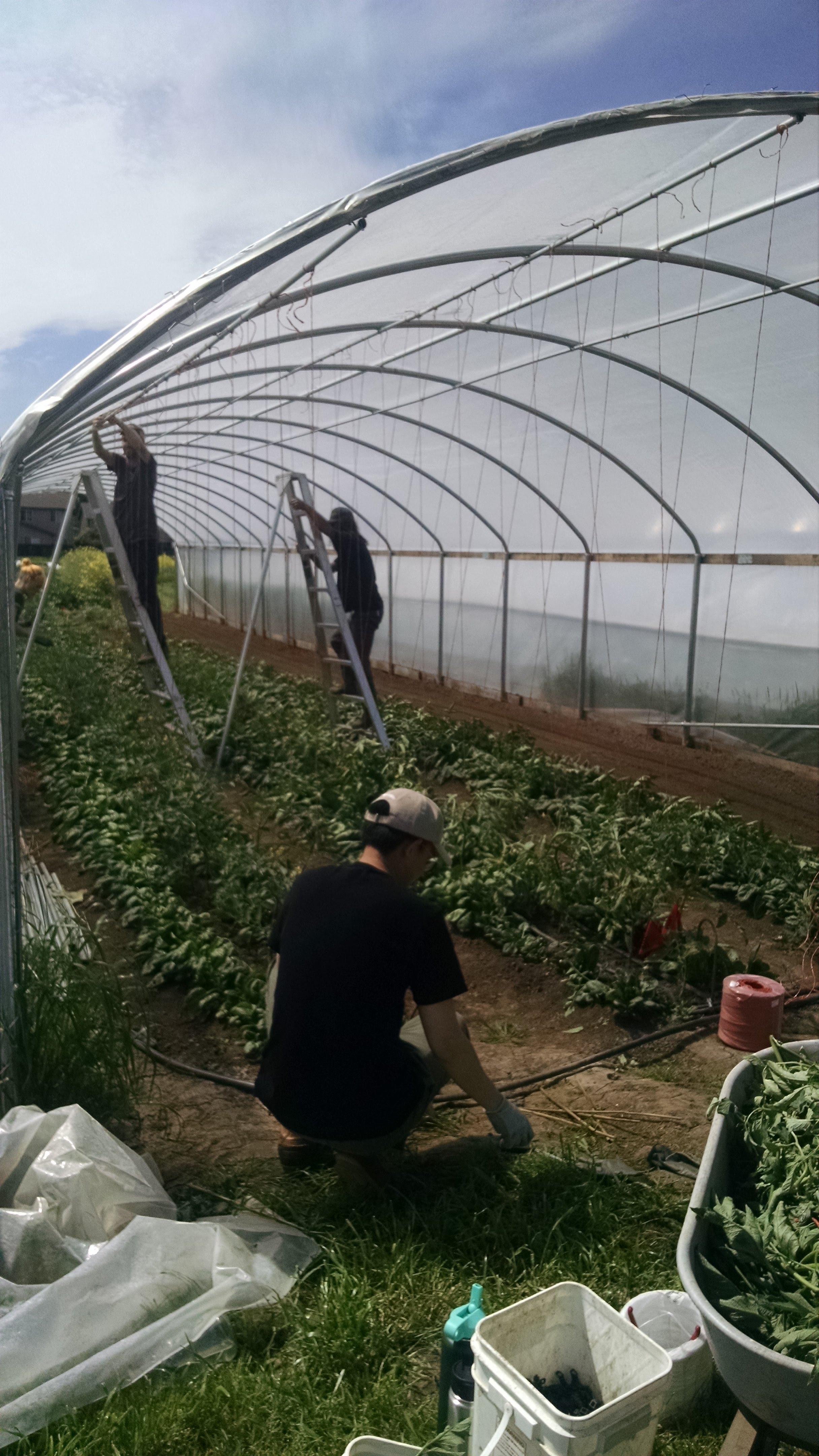 Hands tying up tomatoes, measuring out twine, clipping up plants