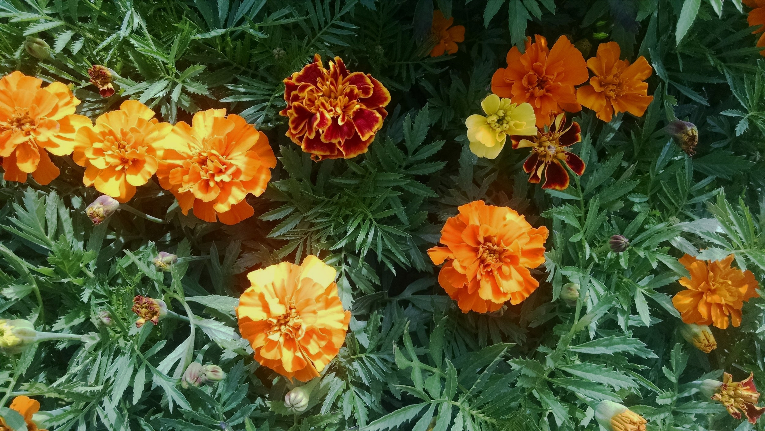 Marigolds under shade cloth outside