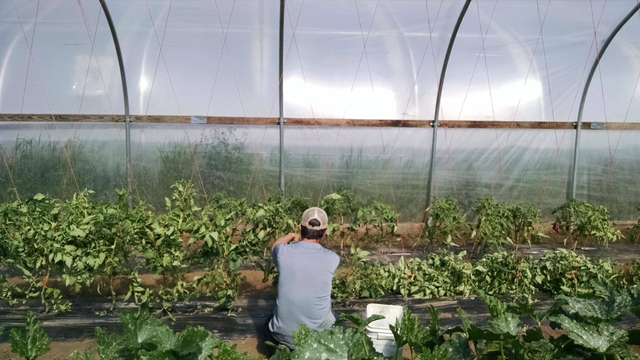 Phil clipping up tomato plants into the trellis braid