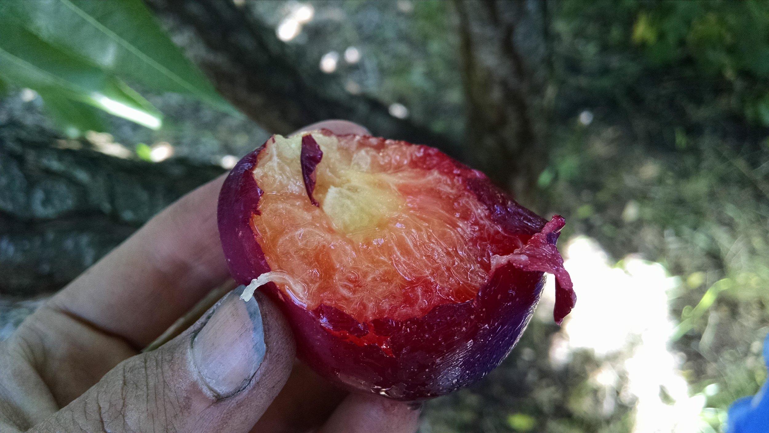 Glorious plum