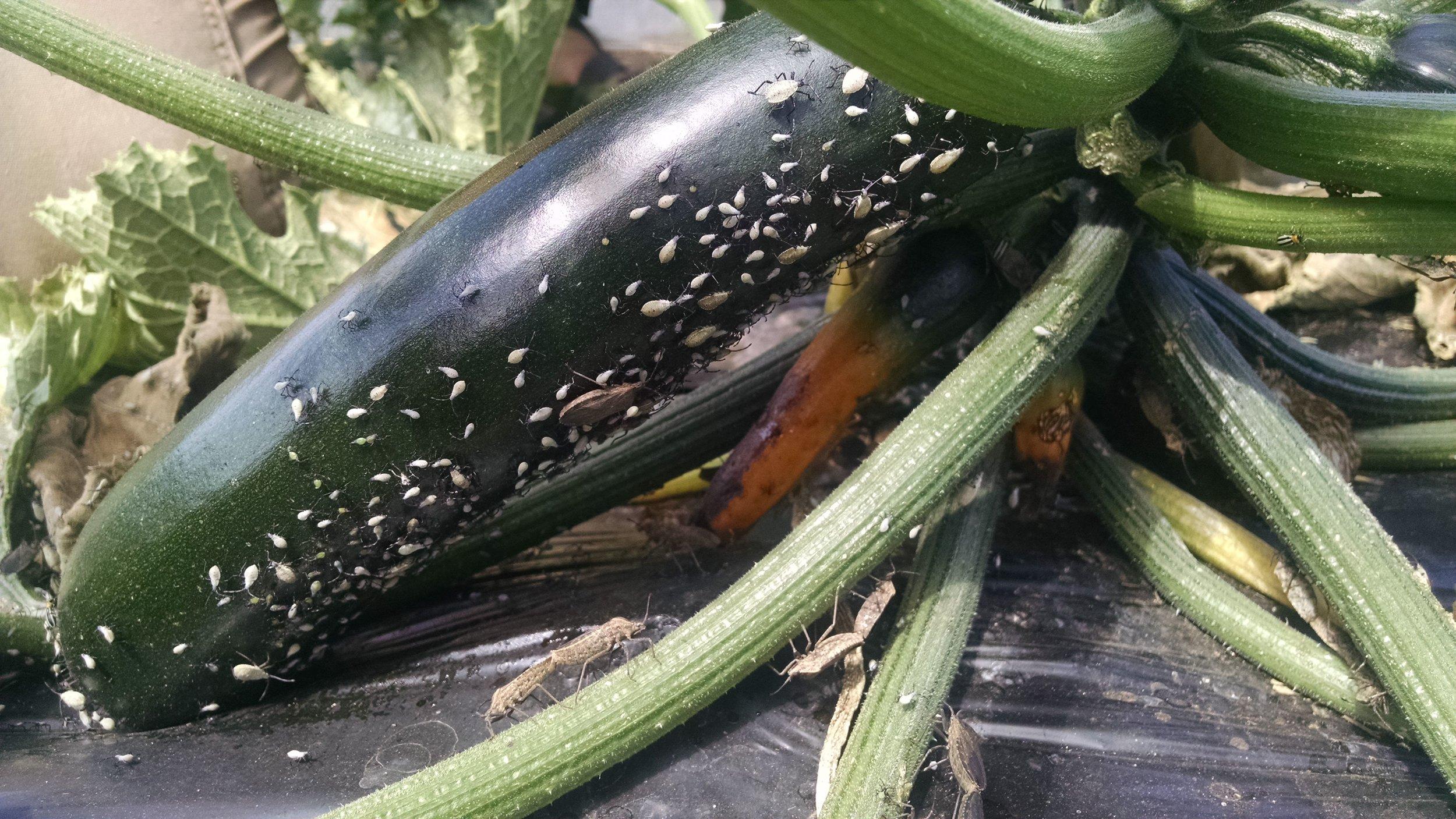 Squash bugs on otherwise beautiful zucchini