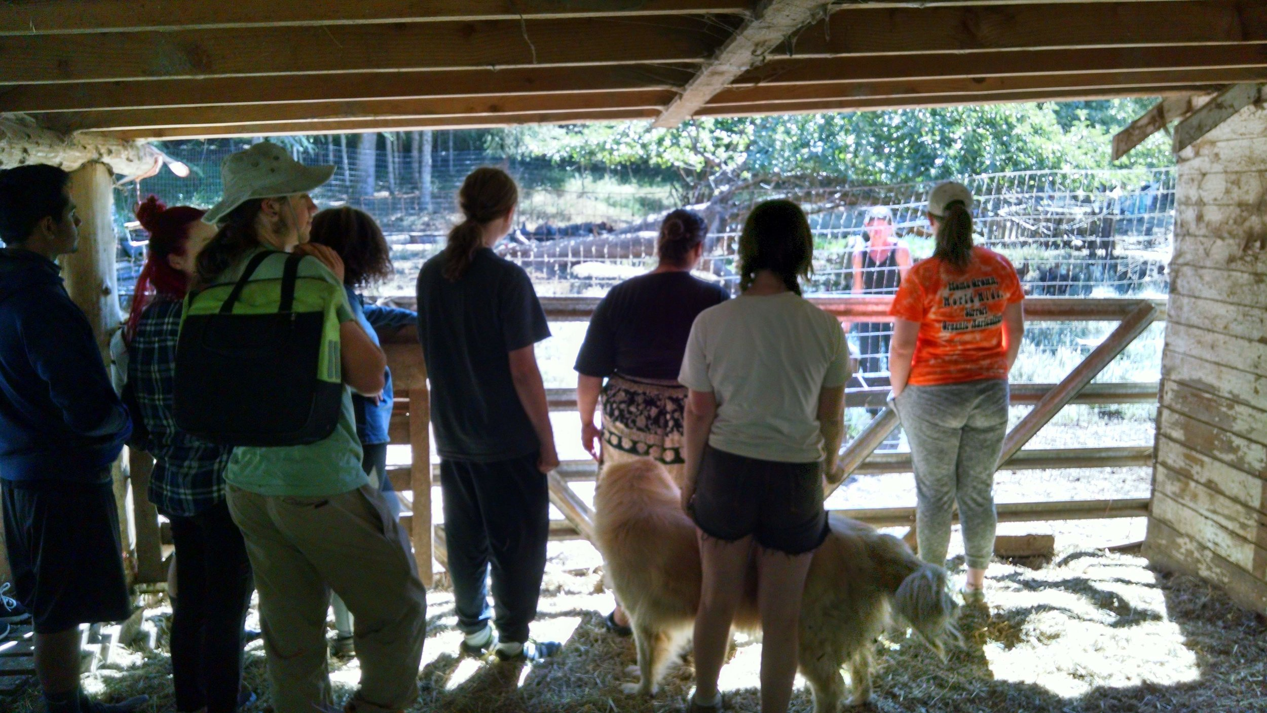 Visiting heritage pigs and chickens at Branch Road Farm in Cottage Grove