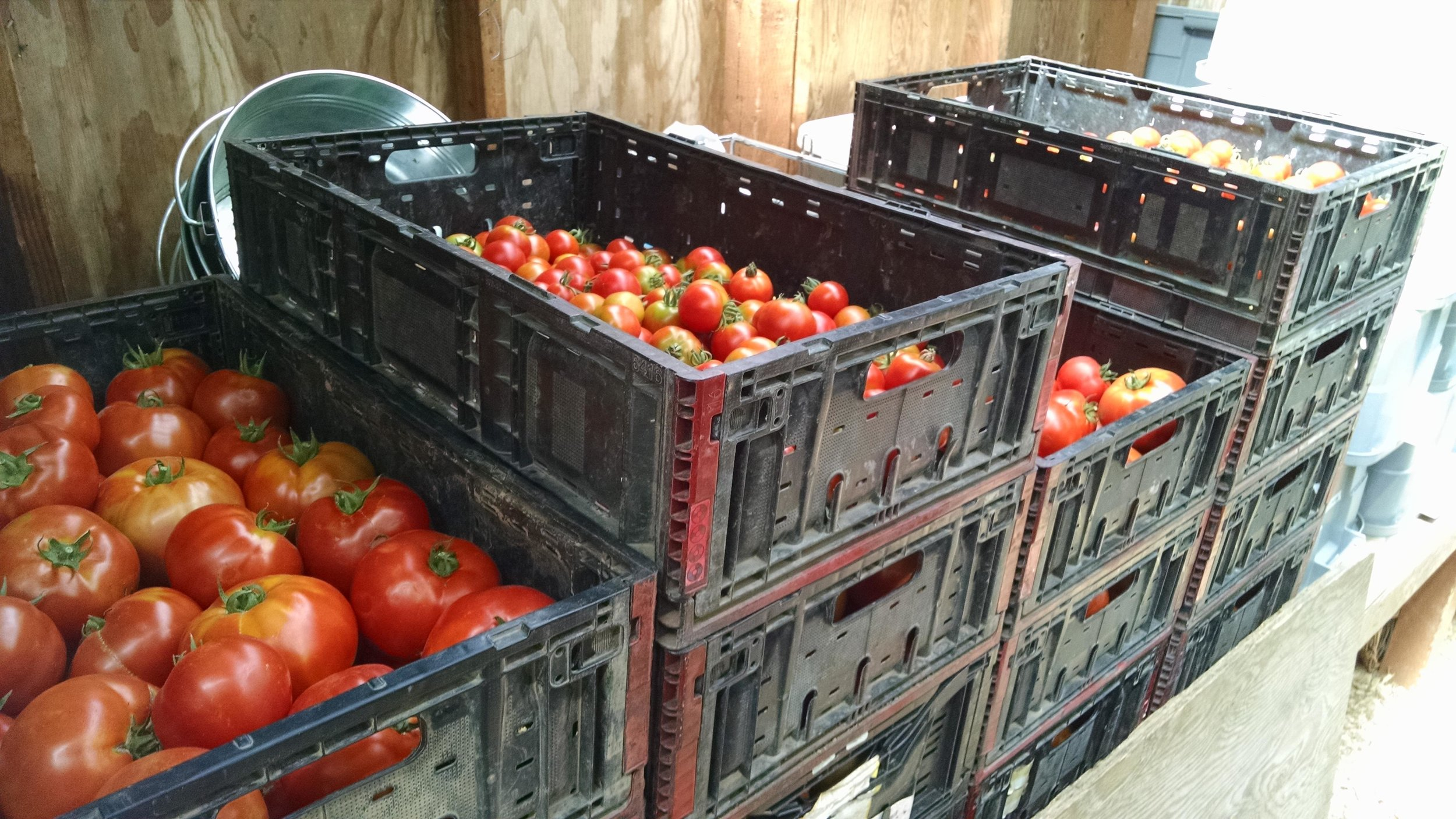 Unsorted tomato stacks