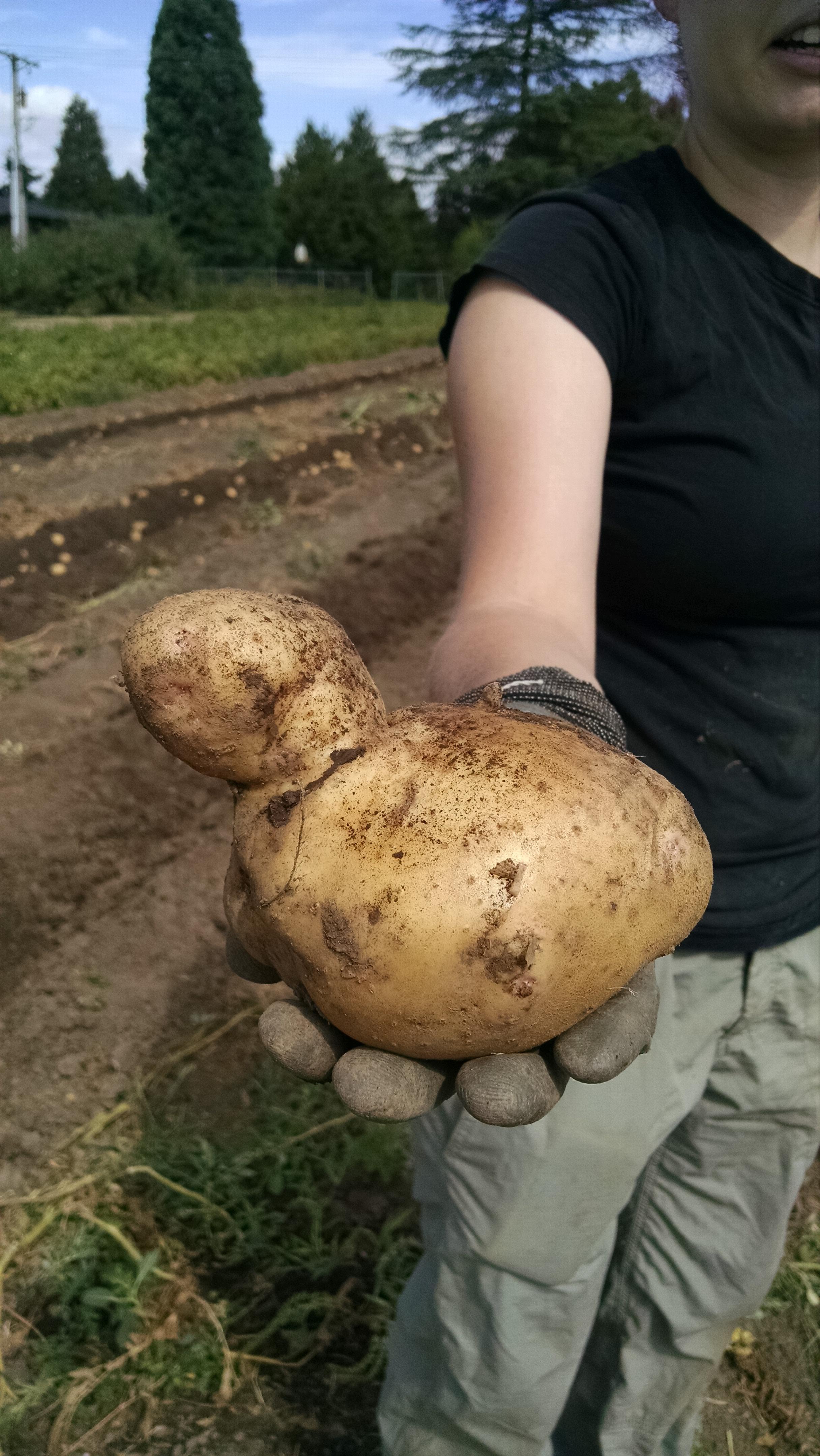 Rubber ducky Yukon Gold potato during the big harvest