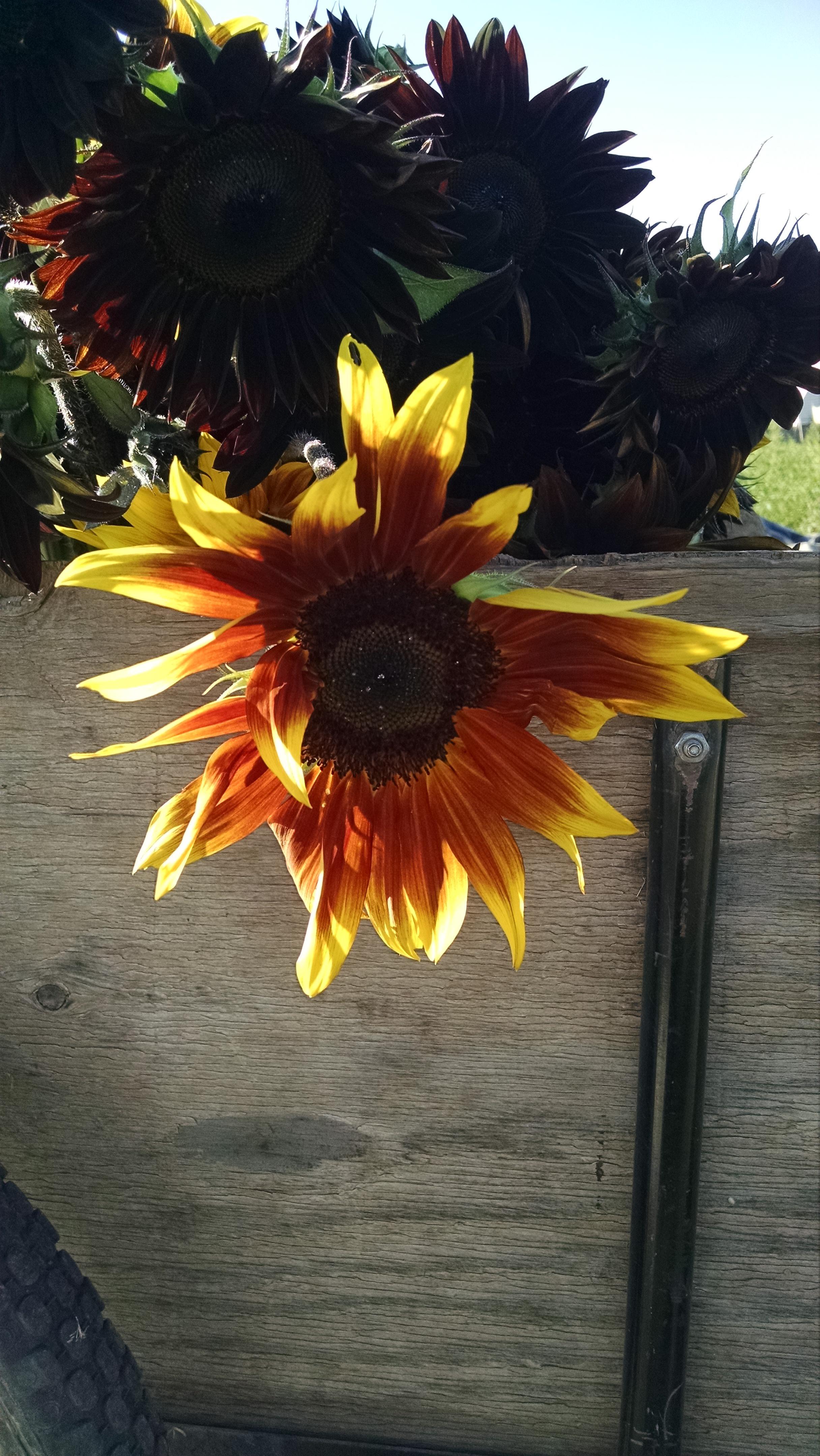 Sunlight catches the petals