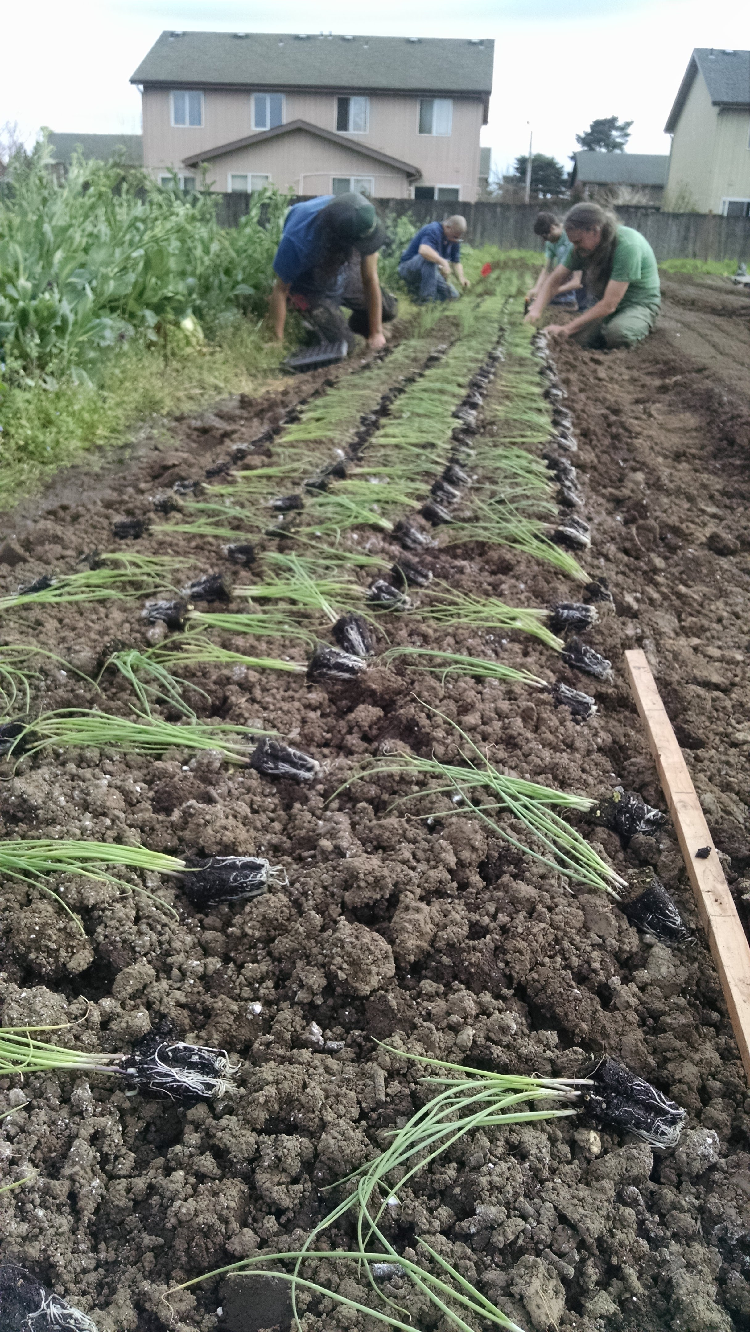 Michael and volunteers transplanting green onions