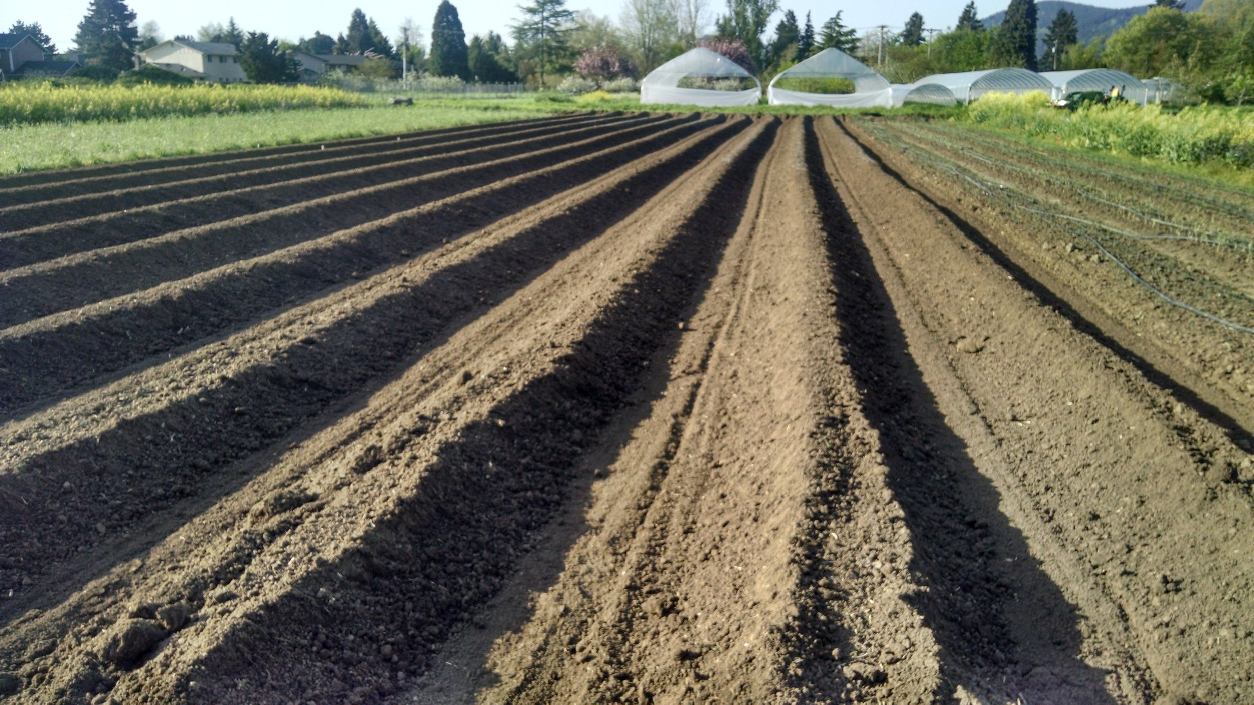 Onion beds awaiting soil amendments