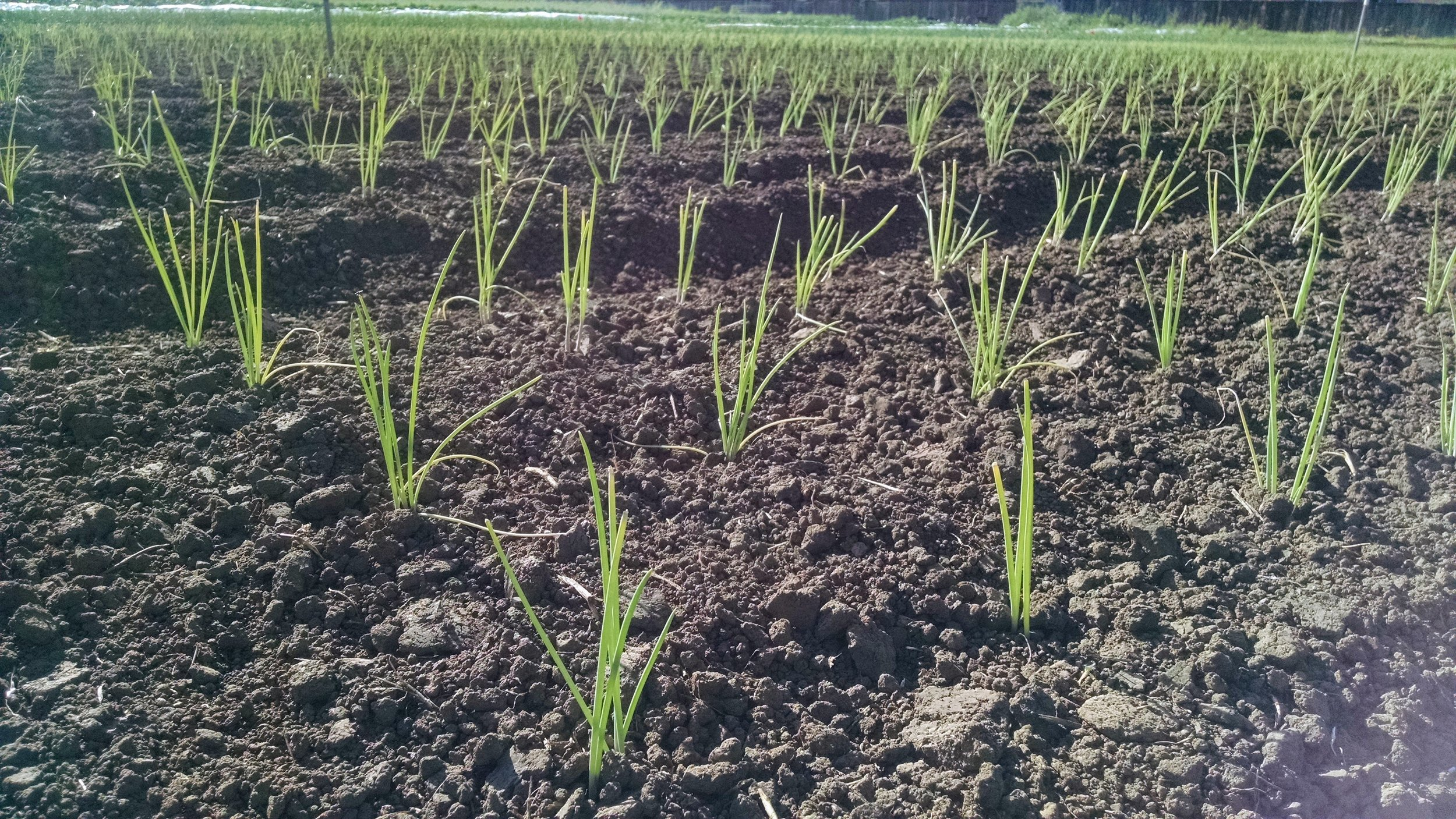 Onion pairs settling in to the field in late May