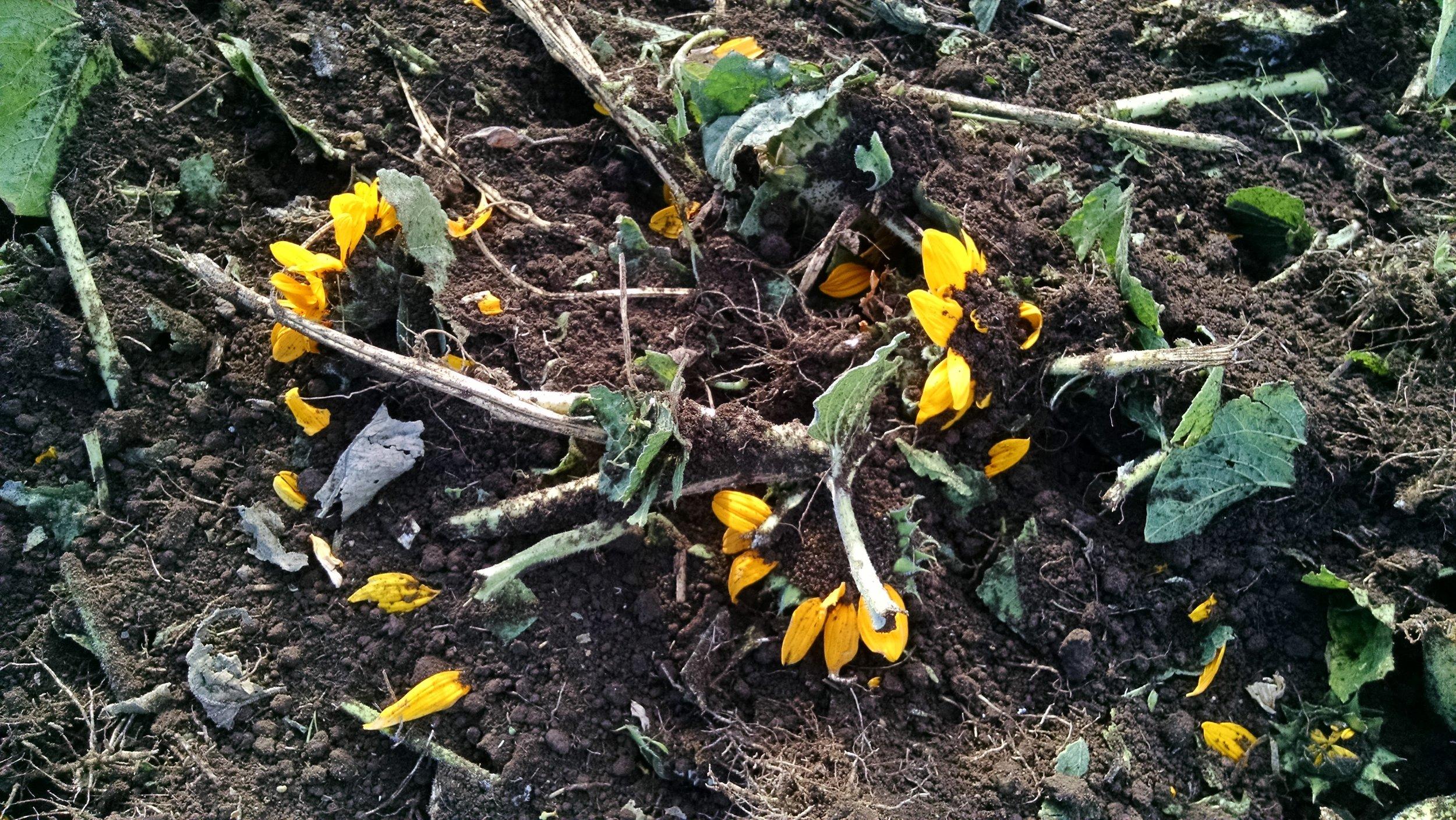 Sunflower petals reentering the earth