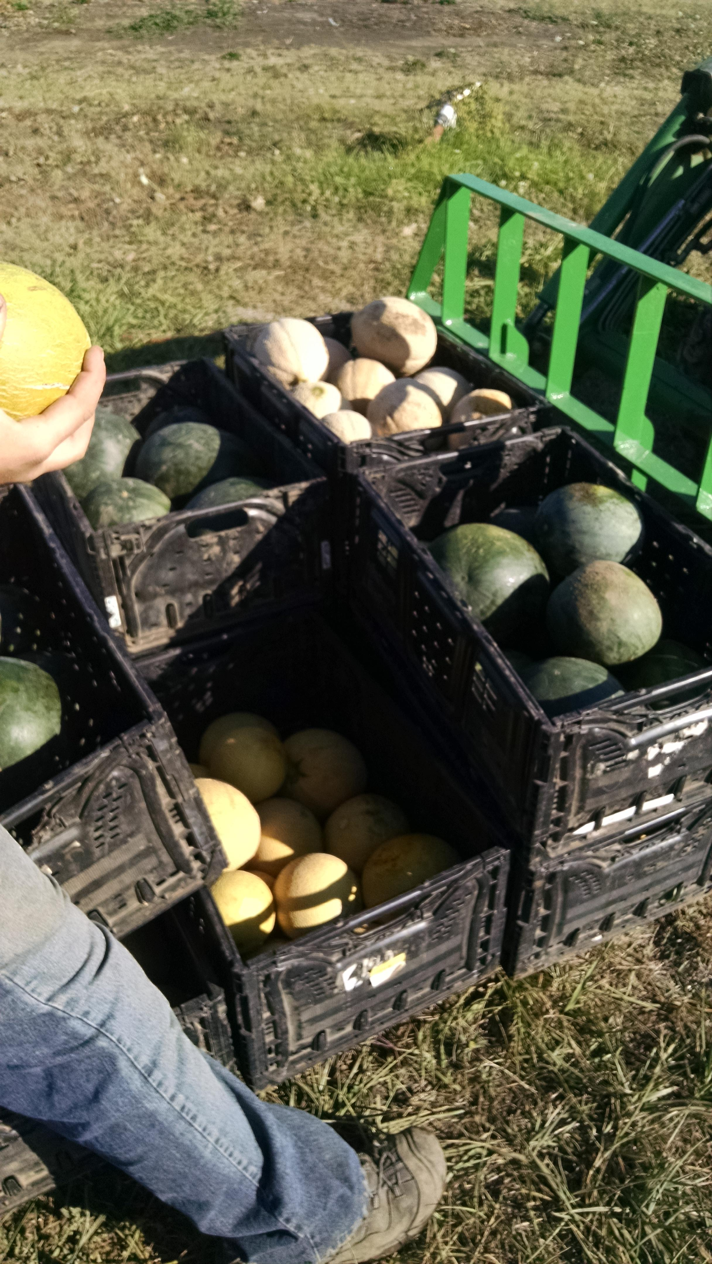 Morning melon haul