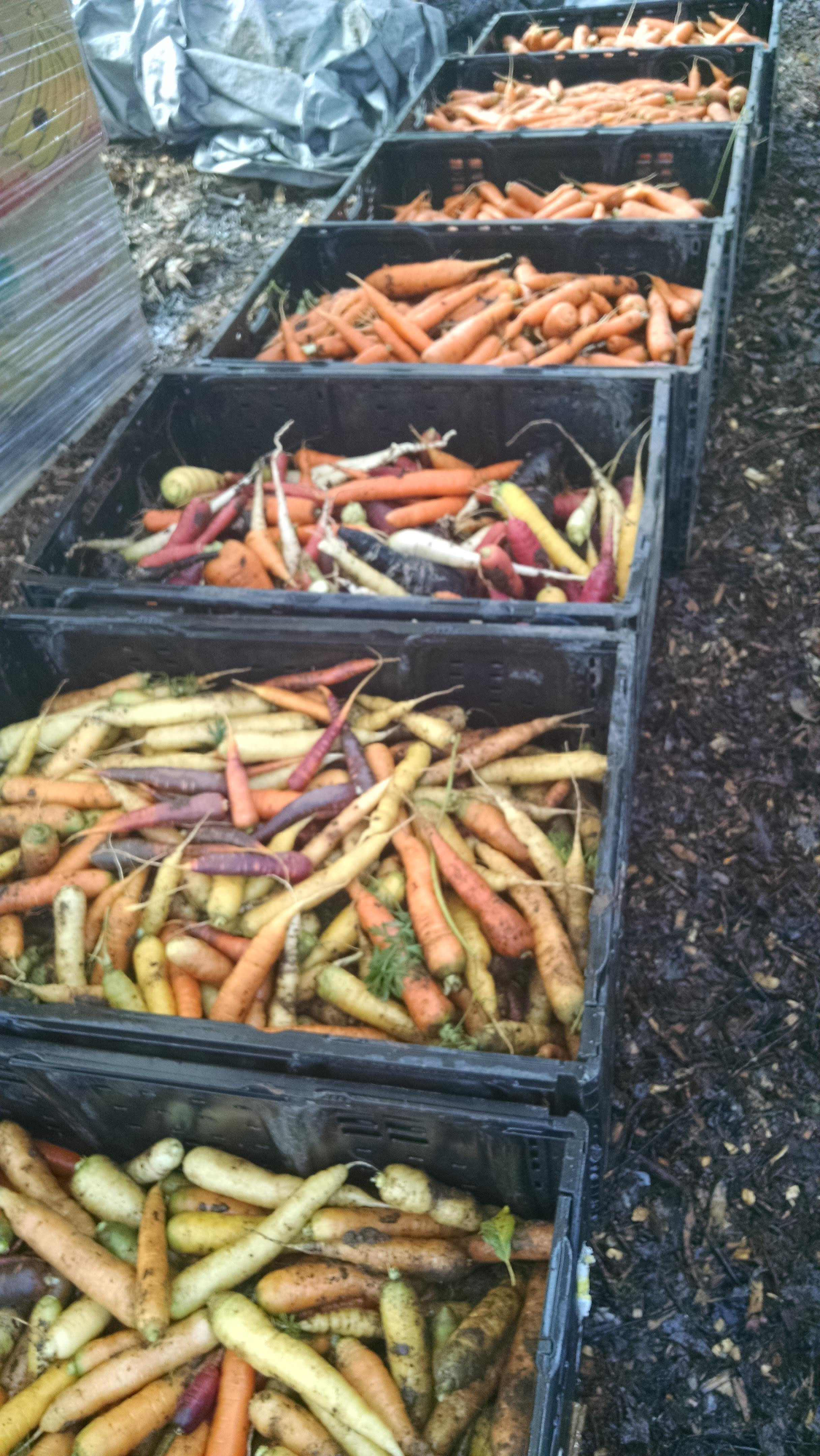 Small fall carrot haul