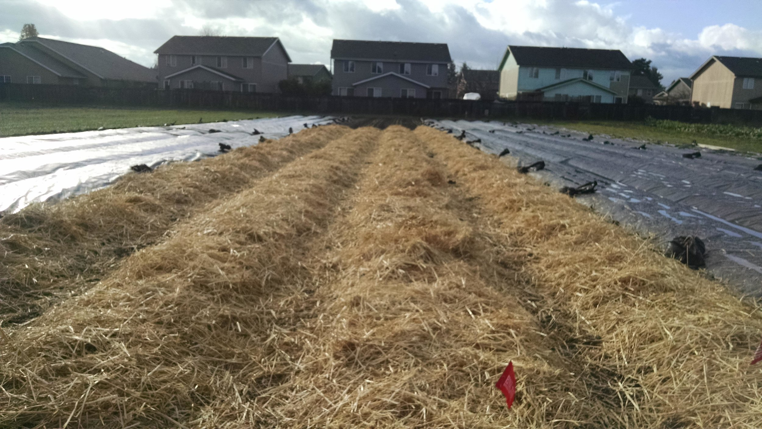 Spreading straw on the garlic beds