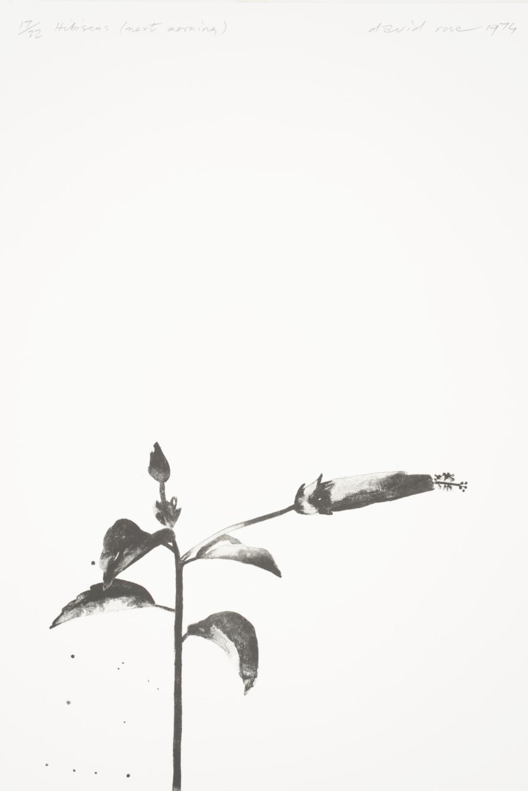 1974 Hibiscus (next morning).JPG