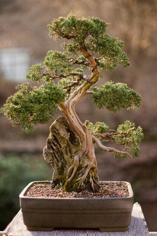 bonsai.png