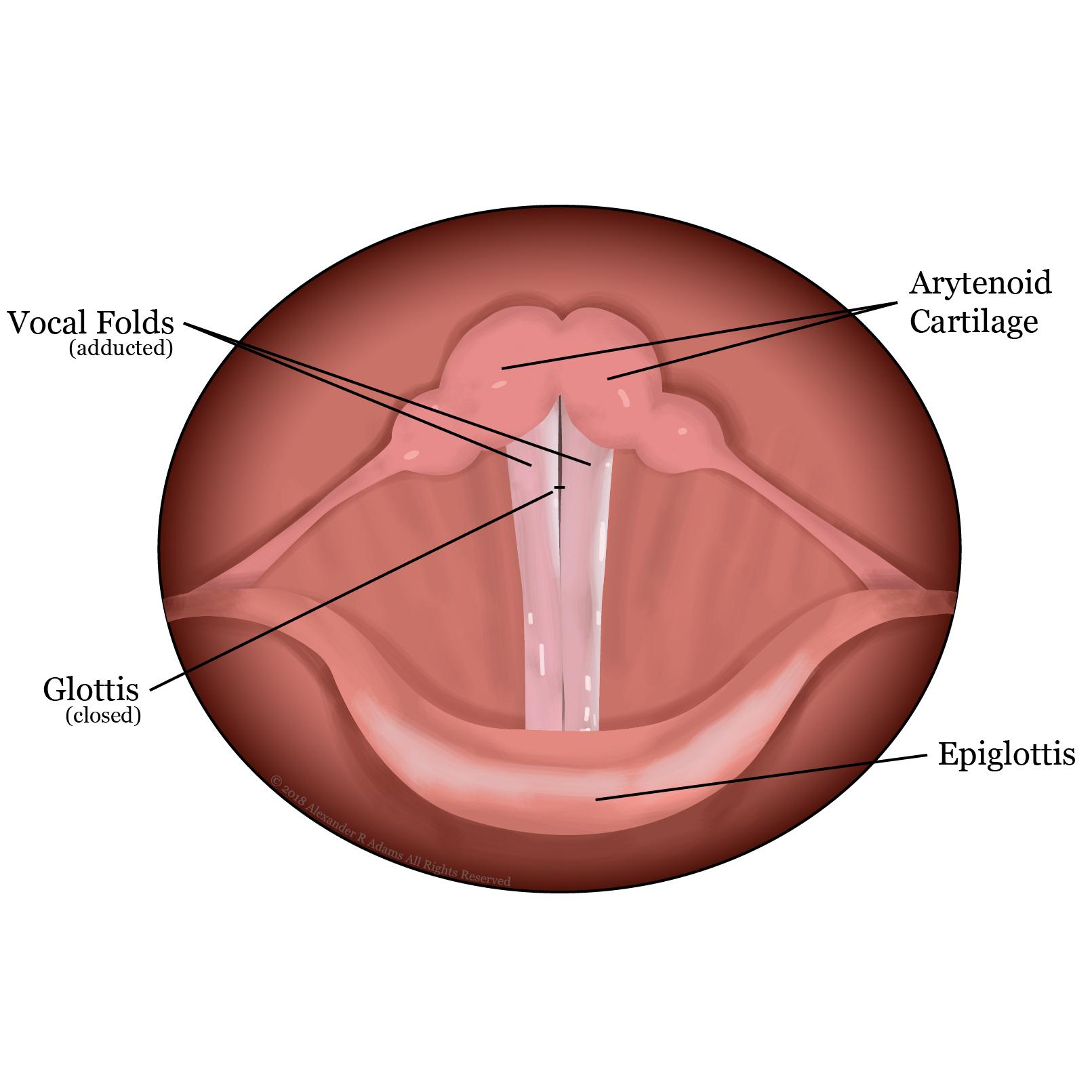 Vocal Folds Closed