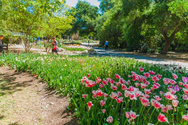A view of the tulips in bloom at Descanso Gardens.