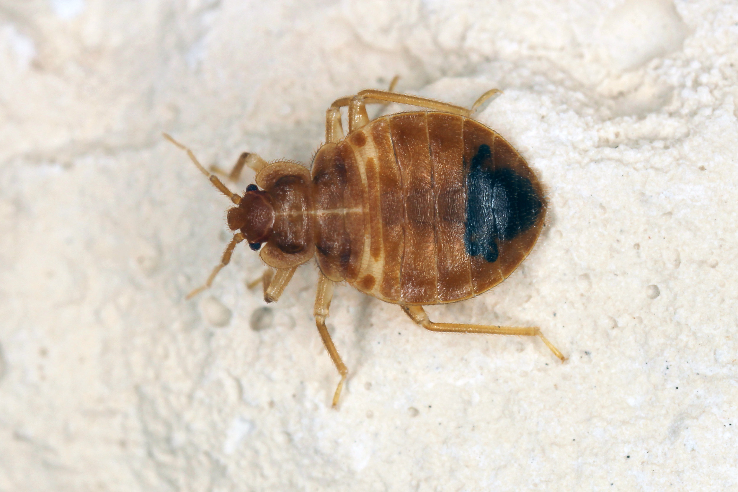 What to Know About the Bed Bug Life Cycle and Treatment in NYC