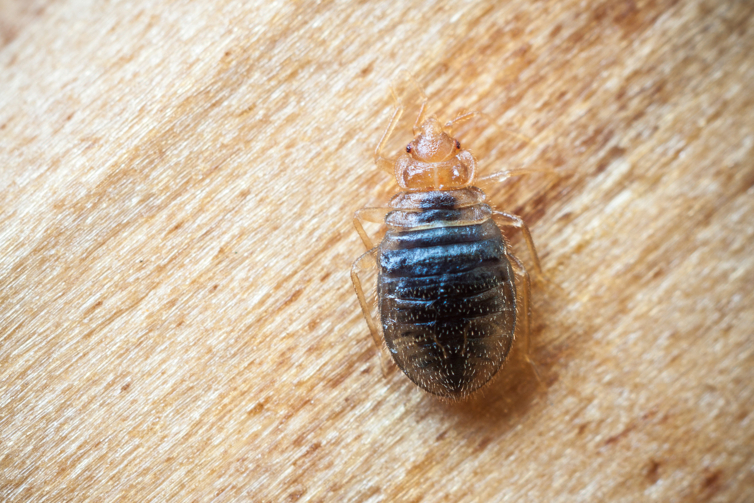 5 Signs of a Bed Bug Infestation in Your Home