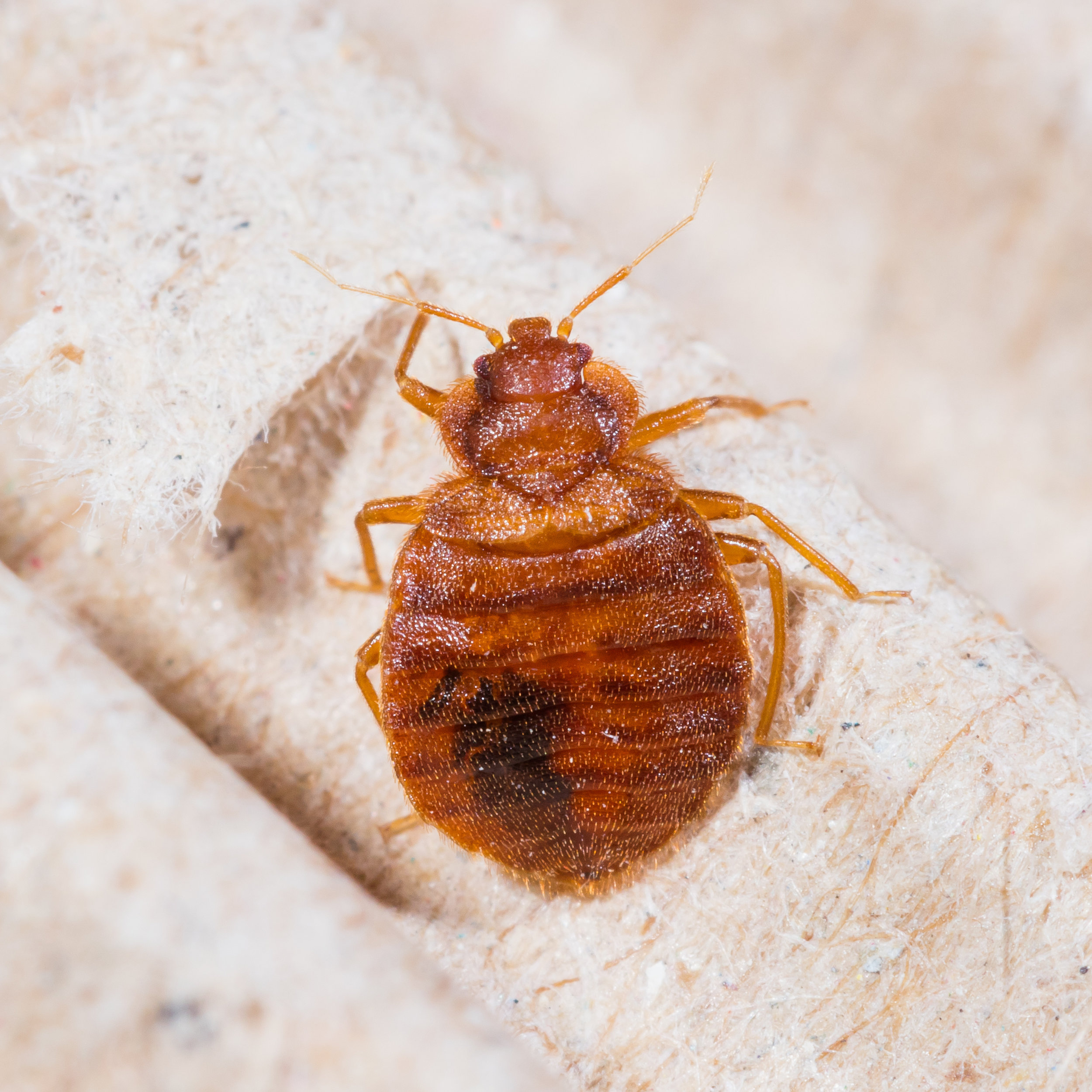 Top X Bed Bug Treatment Options in the NYC Area
