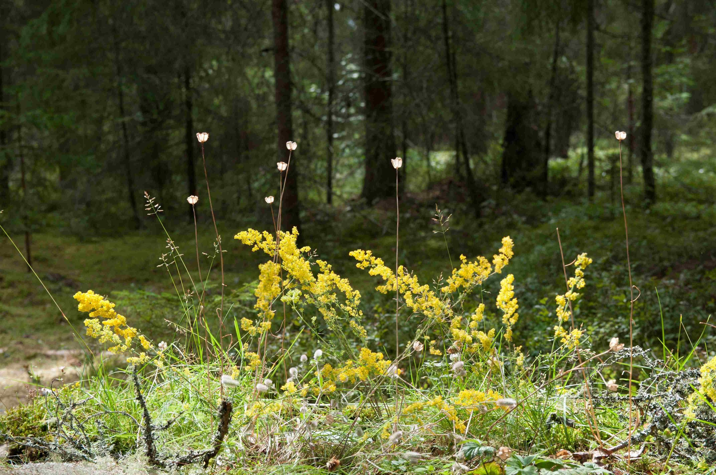 Galium - The distinctive glowing yellow of wild Galium with the pretty seeds of Fritillaria made the table look sunny.