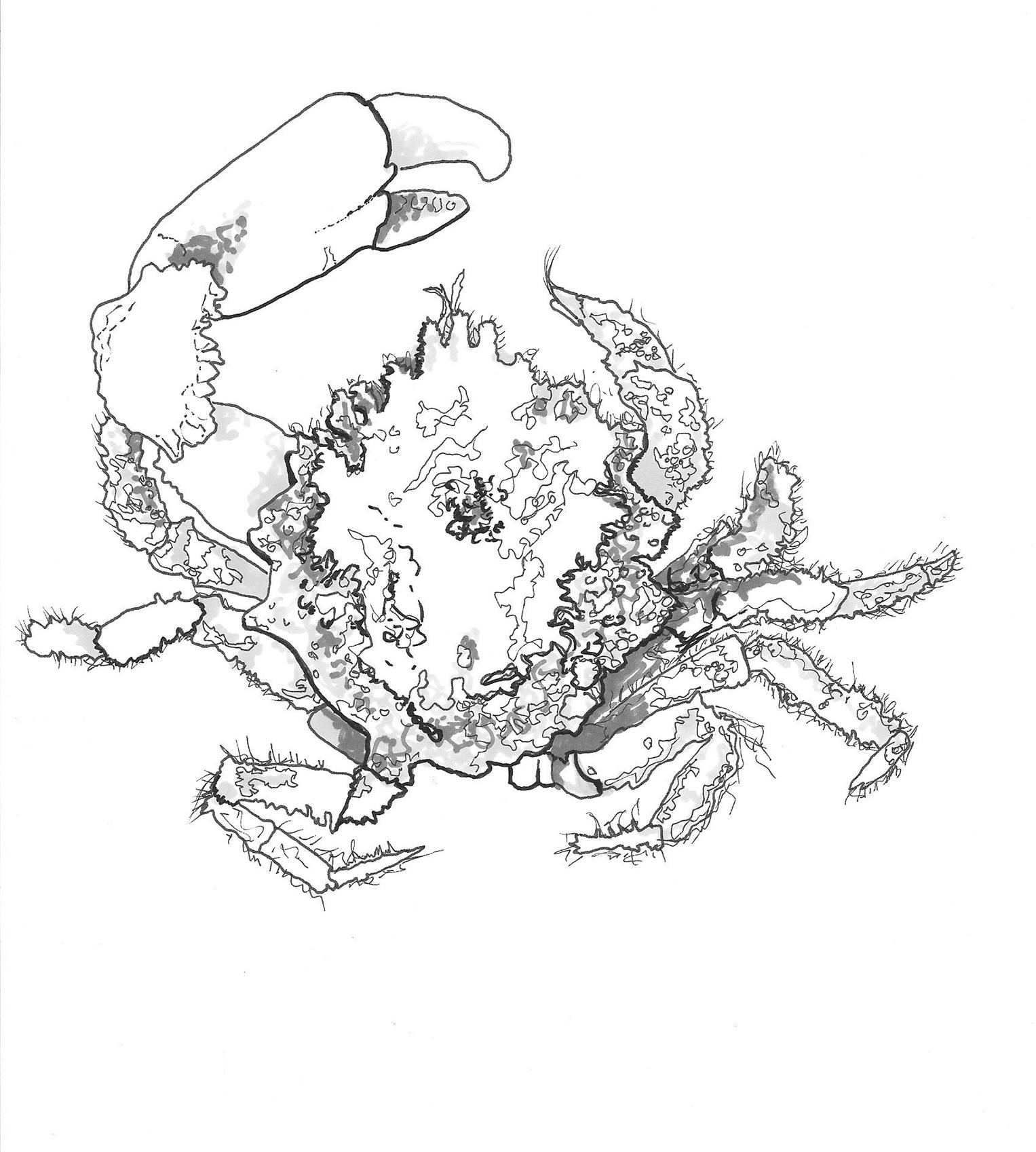 Whiten_crab_illustration_2.jpg