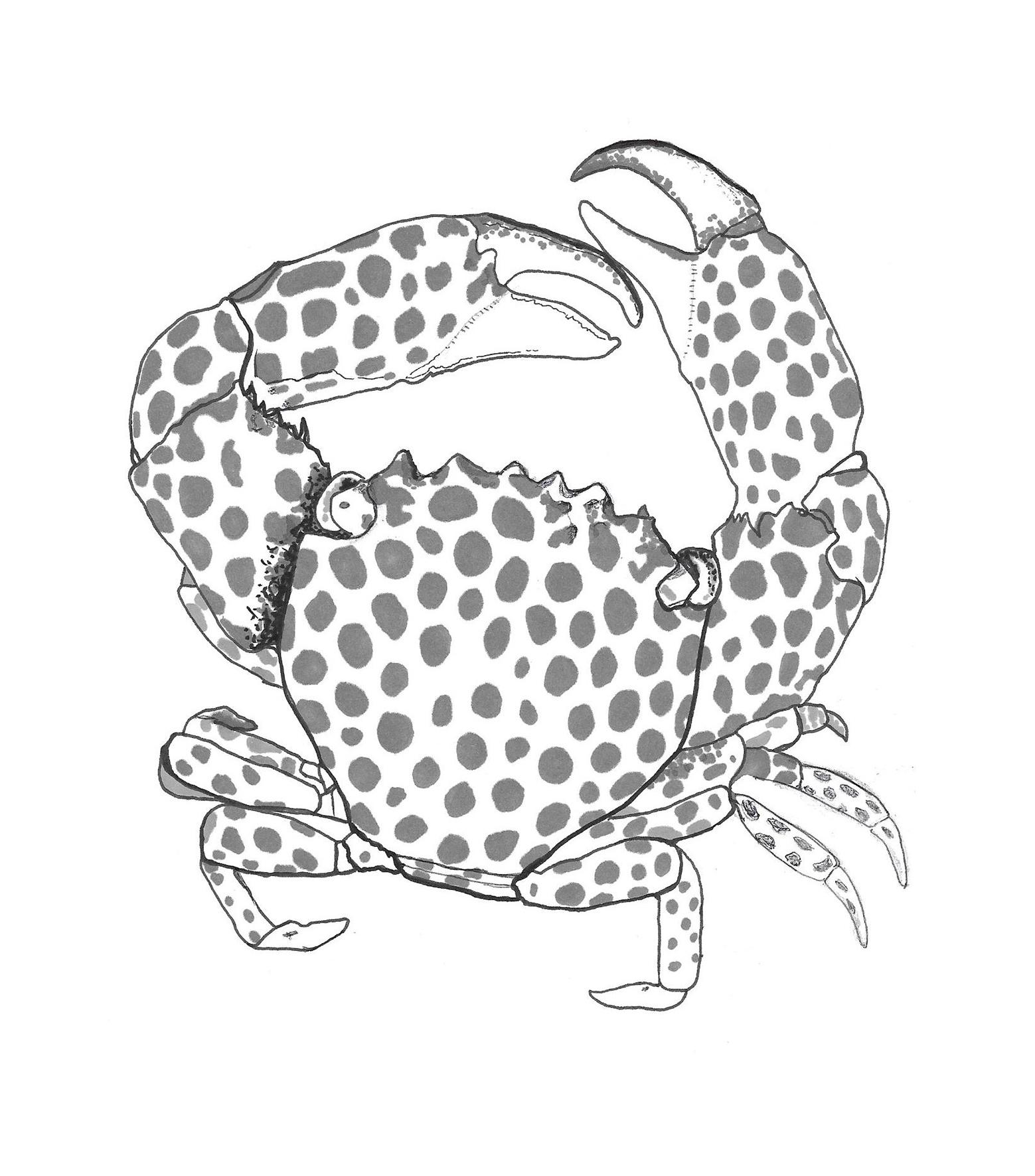 Whiten_crab_illustration_4whiteback.jpg