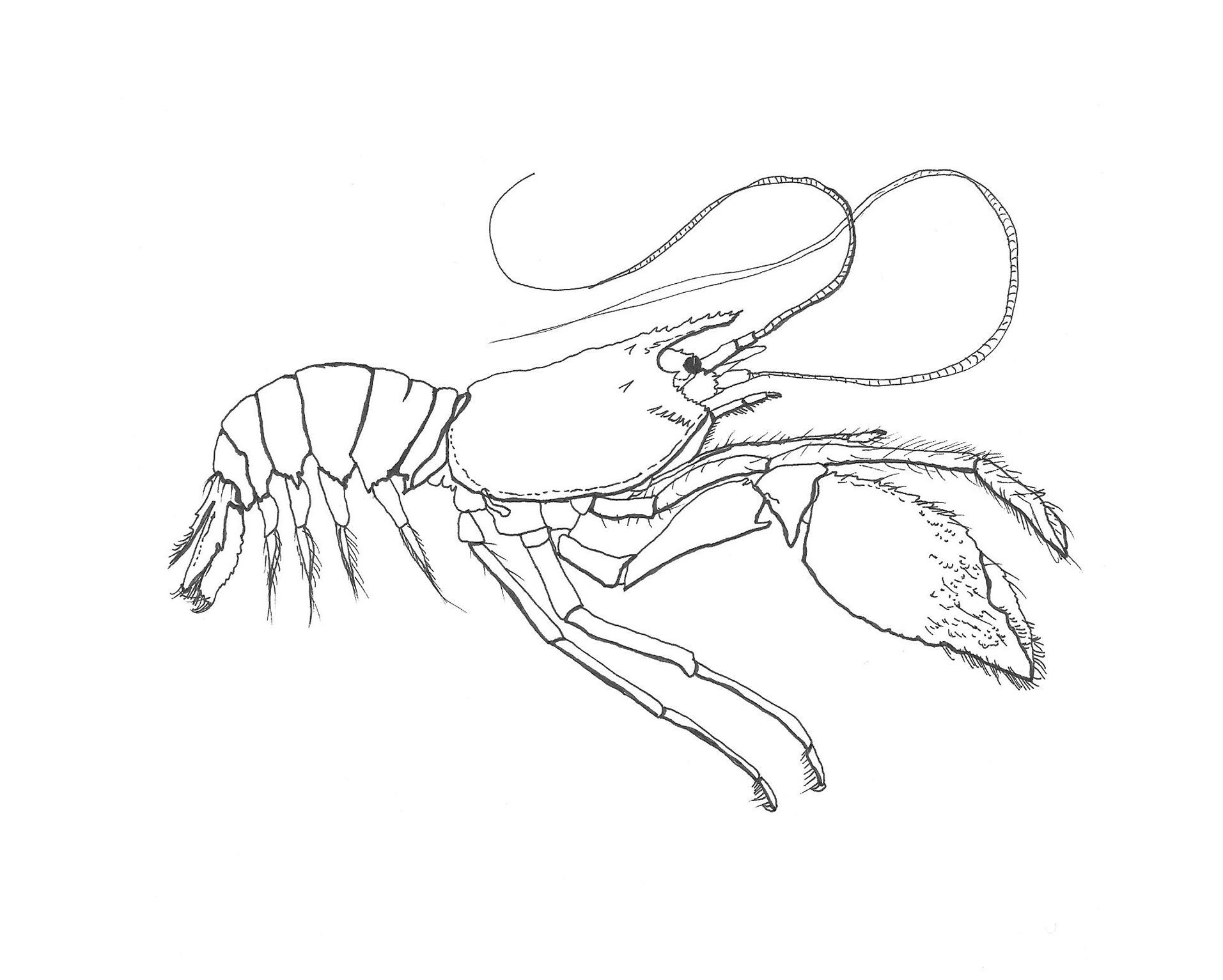 Whiten_crab_illustration_7whiteback.jpg
