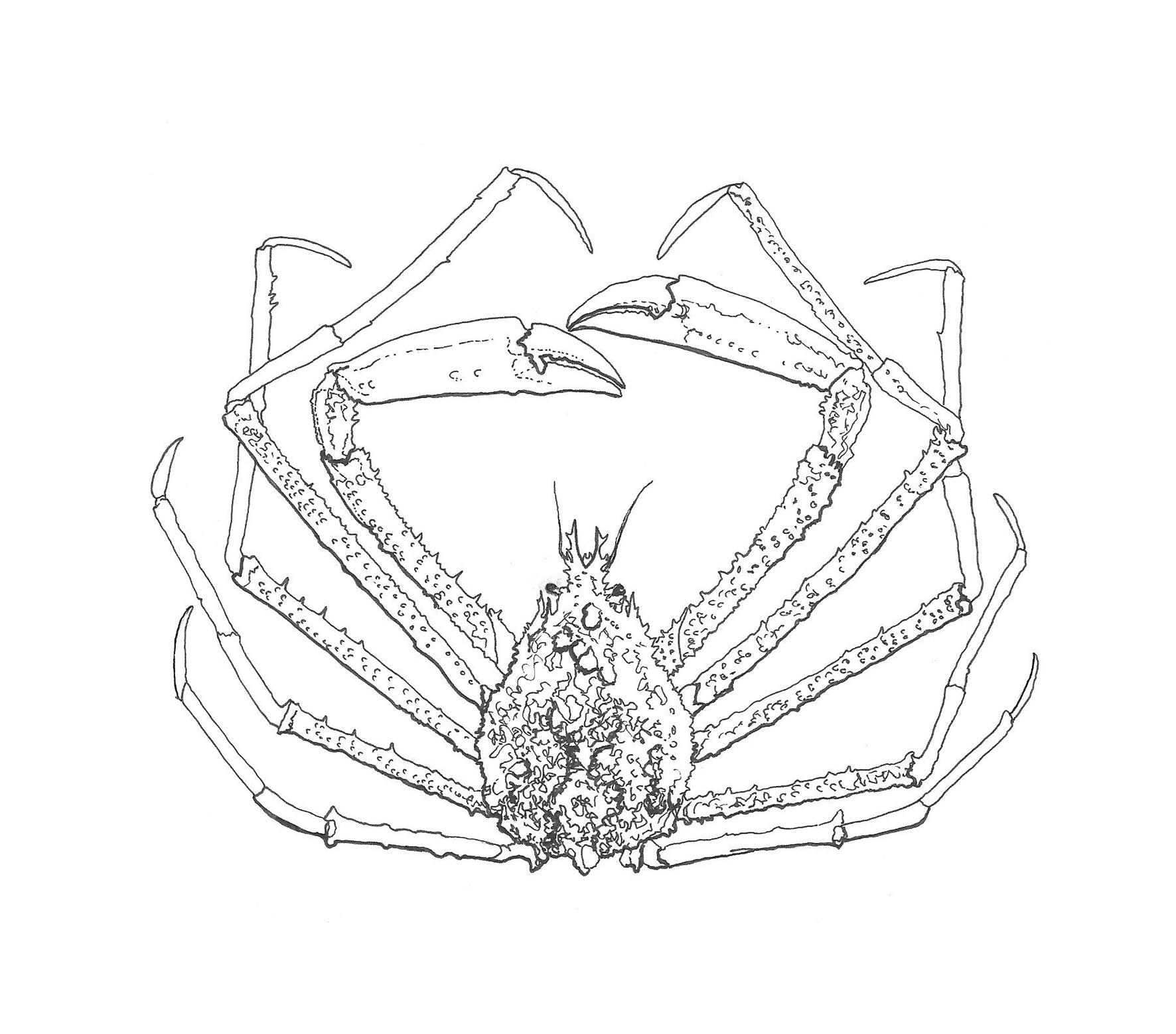 Whiten_crab_illustration_6whiteback2.jpg