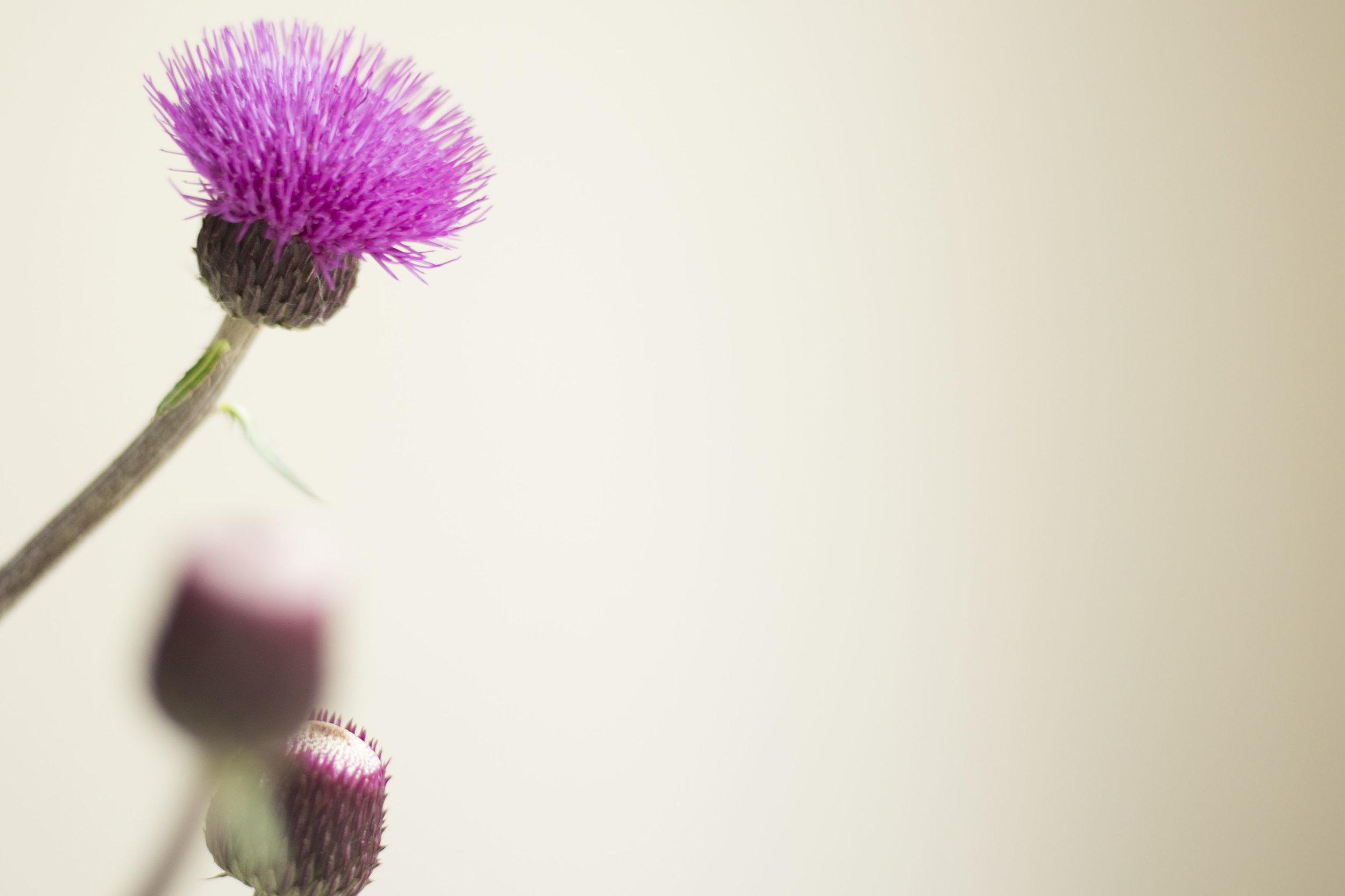 thistle, personal branding photography Scotland
