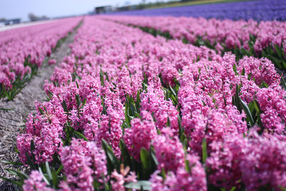 Keukenhof14_Yacinths_field_pink_landscape.jpg