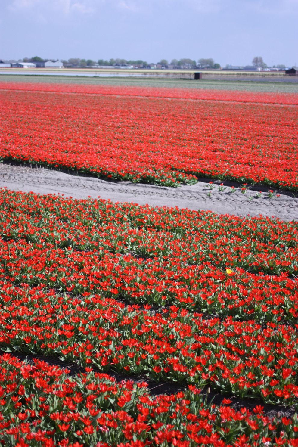 Keukenhof14_red_tulips_fiel.jpg