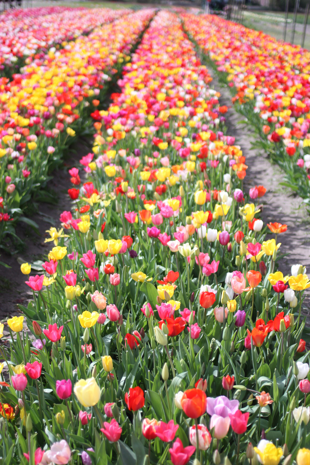 Keukenhof14__Annemiekes_Pluktuin_Field_tulips.jpg