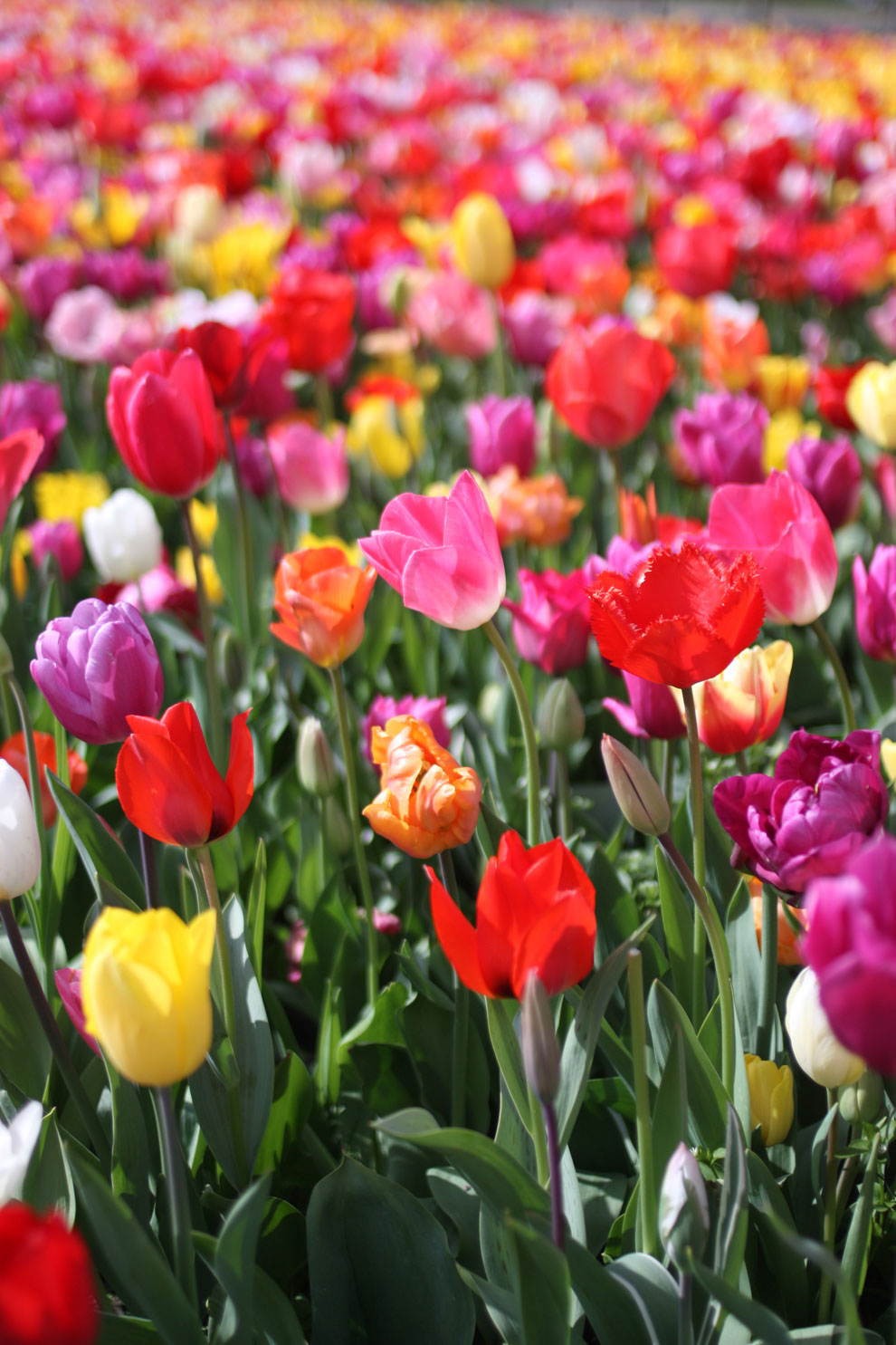Keukenhof14_tulips.jpg