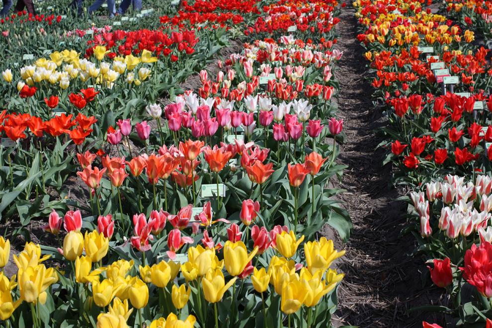 Keukenhof14__Hortus_Bolburum_mixed_tulips.jpg