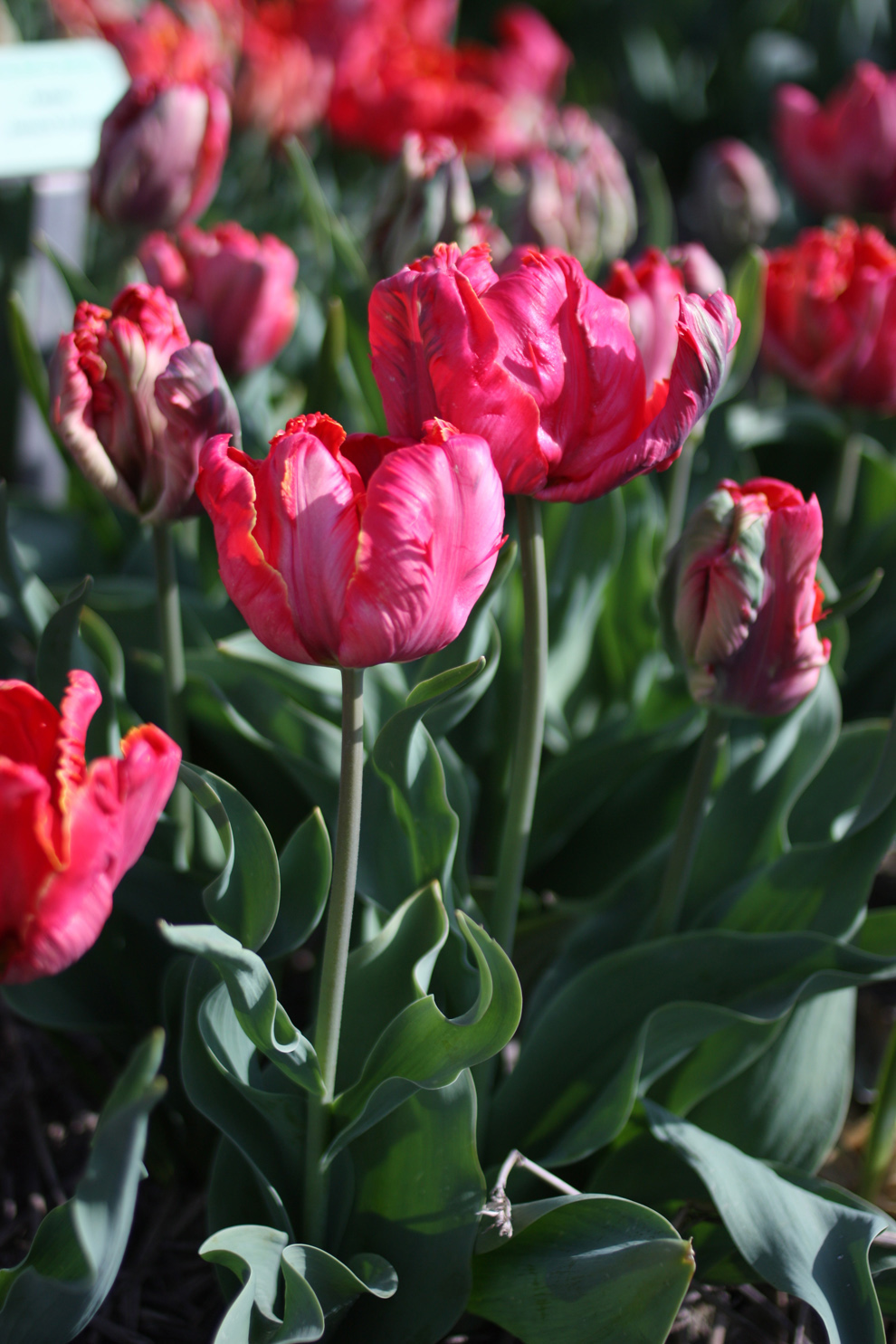 Keukenhof14__Hortus_Bolburum_parrot_tulips.jpg