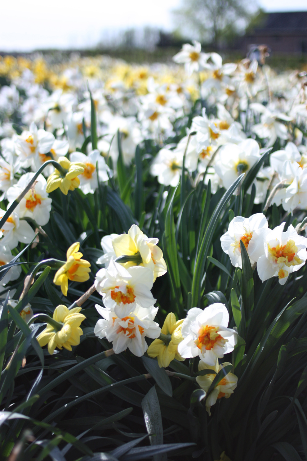 Keukenhof14_Hortus_Bolburum_daffodils_field.jpg