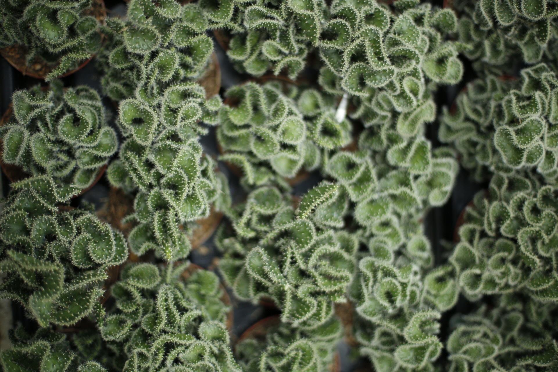 cactus from above