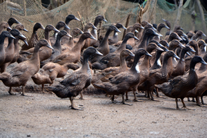 Brown Philippine Mallard Ducks (Photo from the Livestock Research Division (LRD), DOST-PCAARRD )
