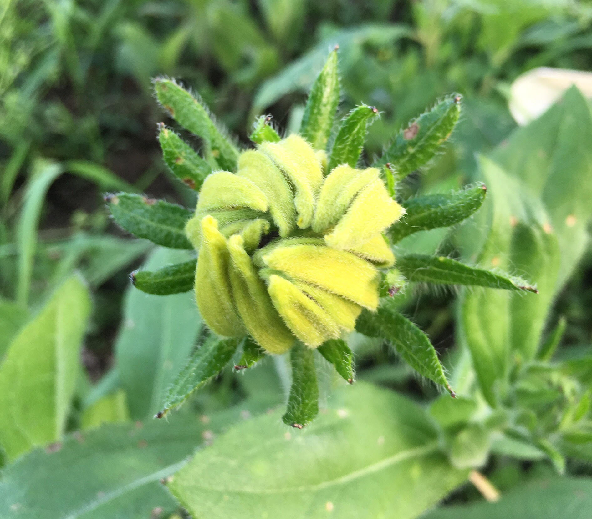 Rudbeckia (black-eyed susans) about to open.